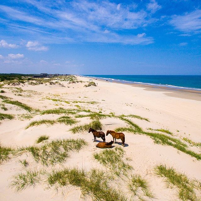 Wild horses of Corolla #spanishmustang #wildhorse #corolla #outerbanks #outerbanksnc