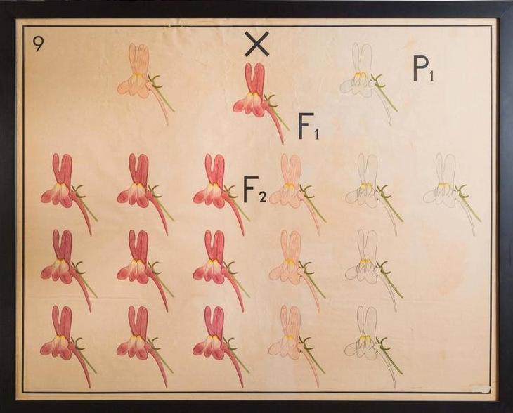 Vintage Sweet Pea Genetics Chart