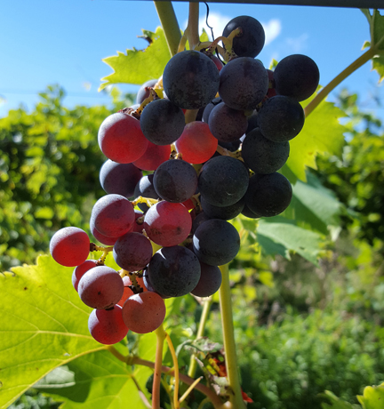 Copy of Leonard Oakes Estate Winery
