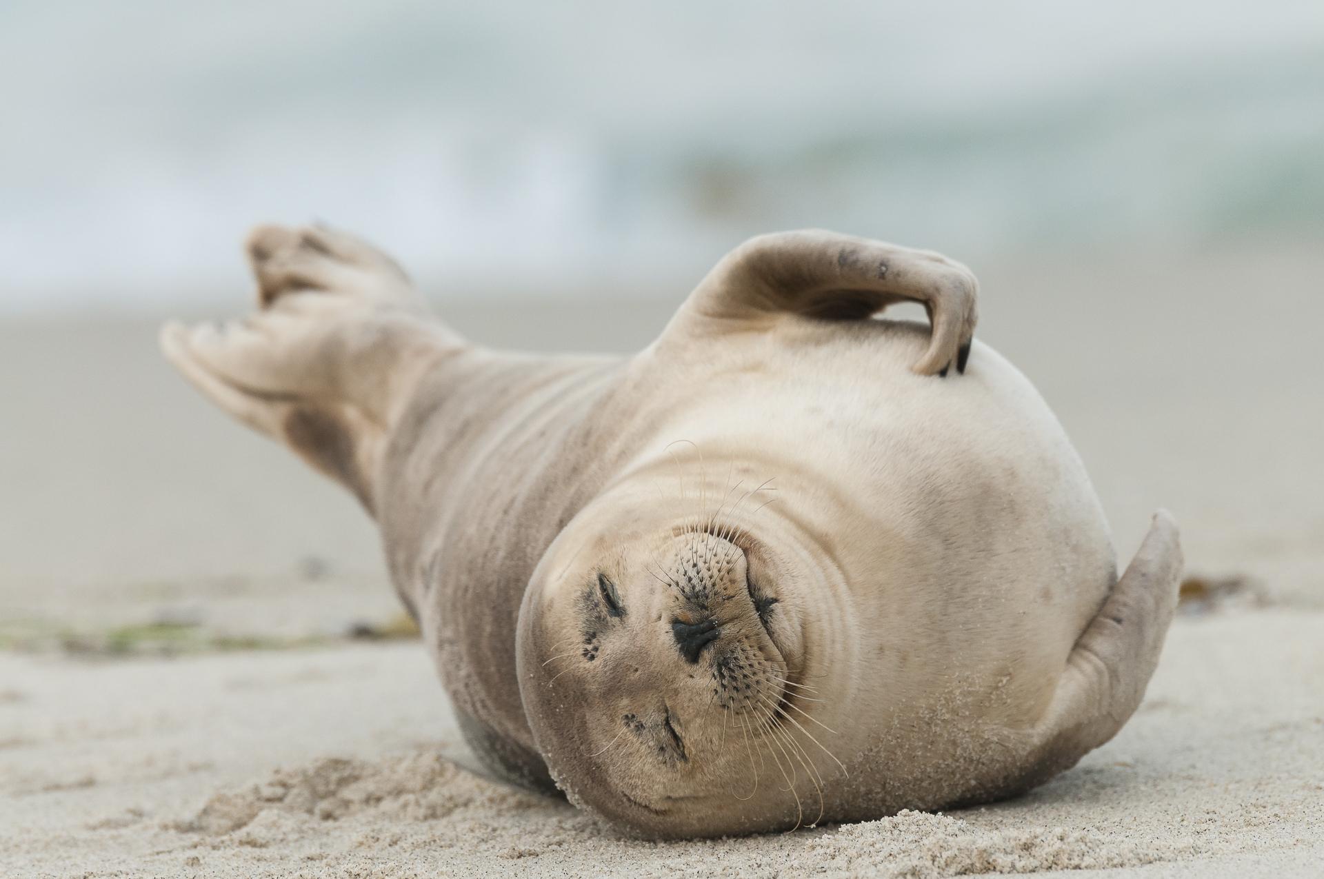 Harbor seal sleeping