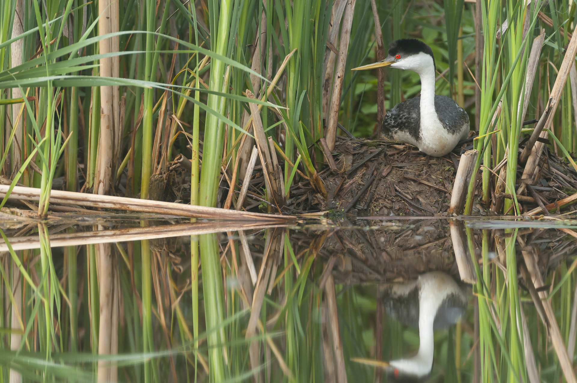 Western grebe on nest