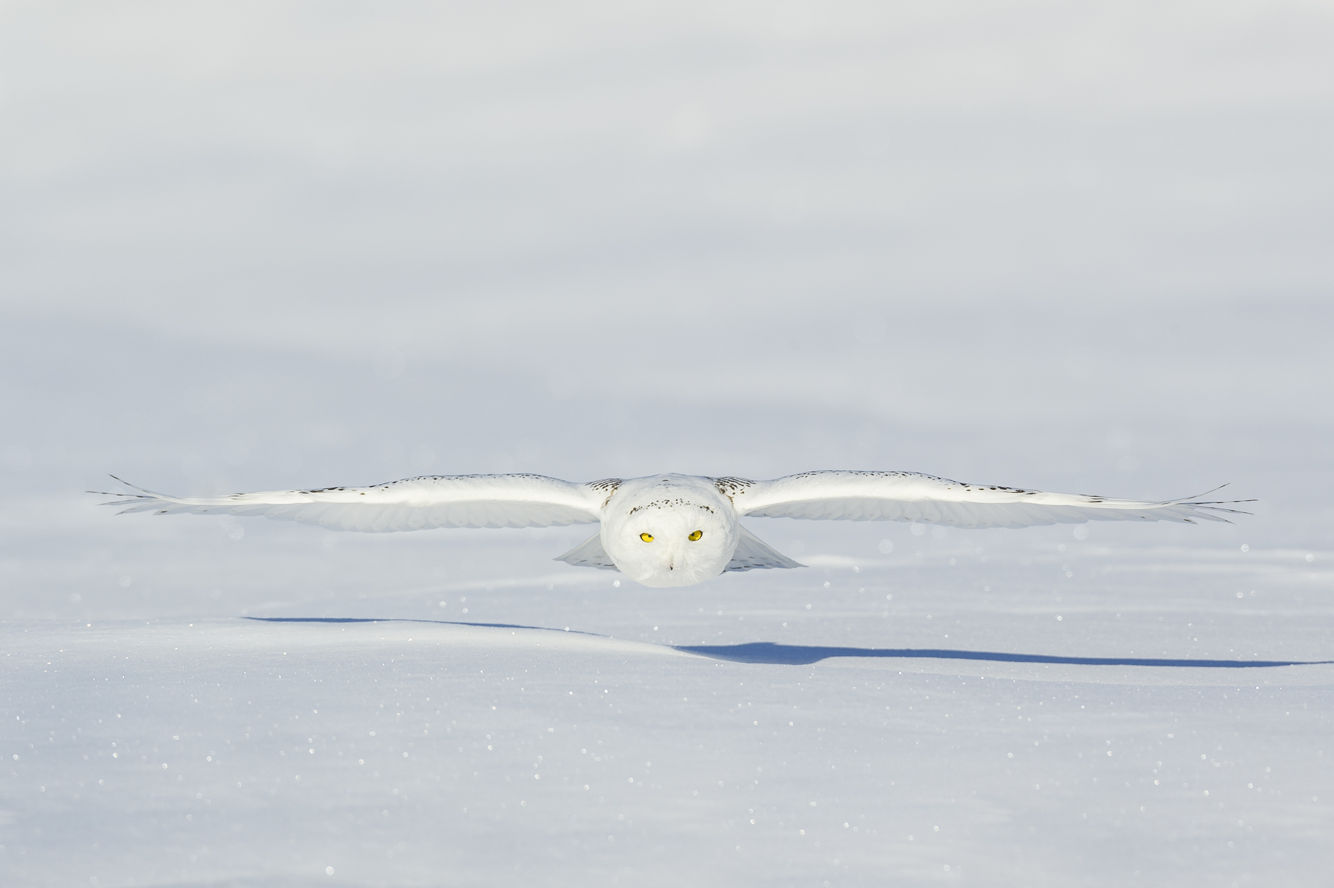 Under the radar: snowy owl