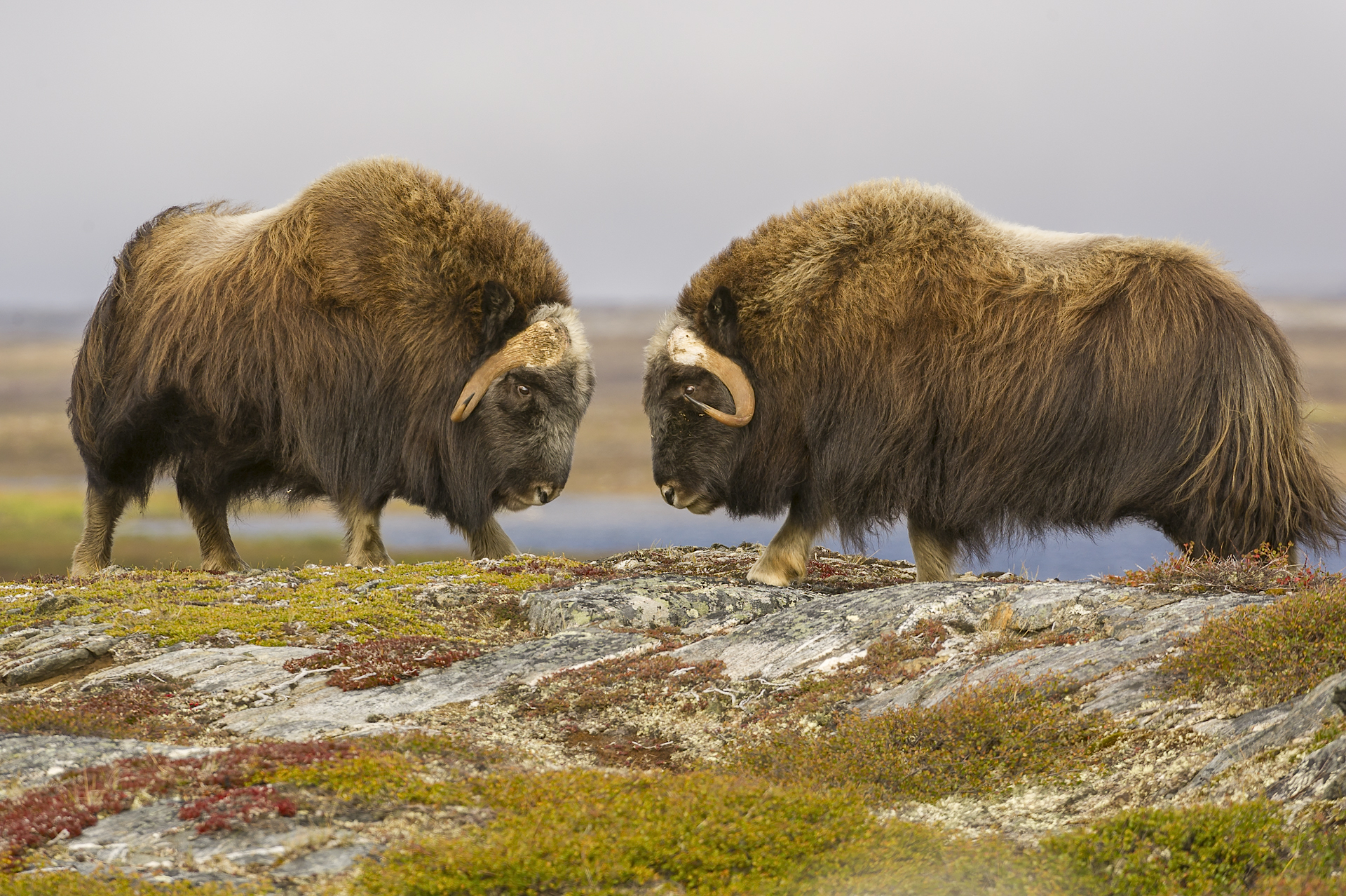 Head-butting muskoxen. Nunavik, northern Quebec
