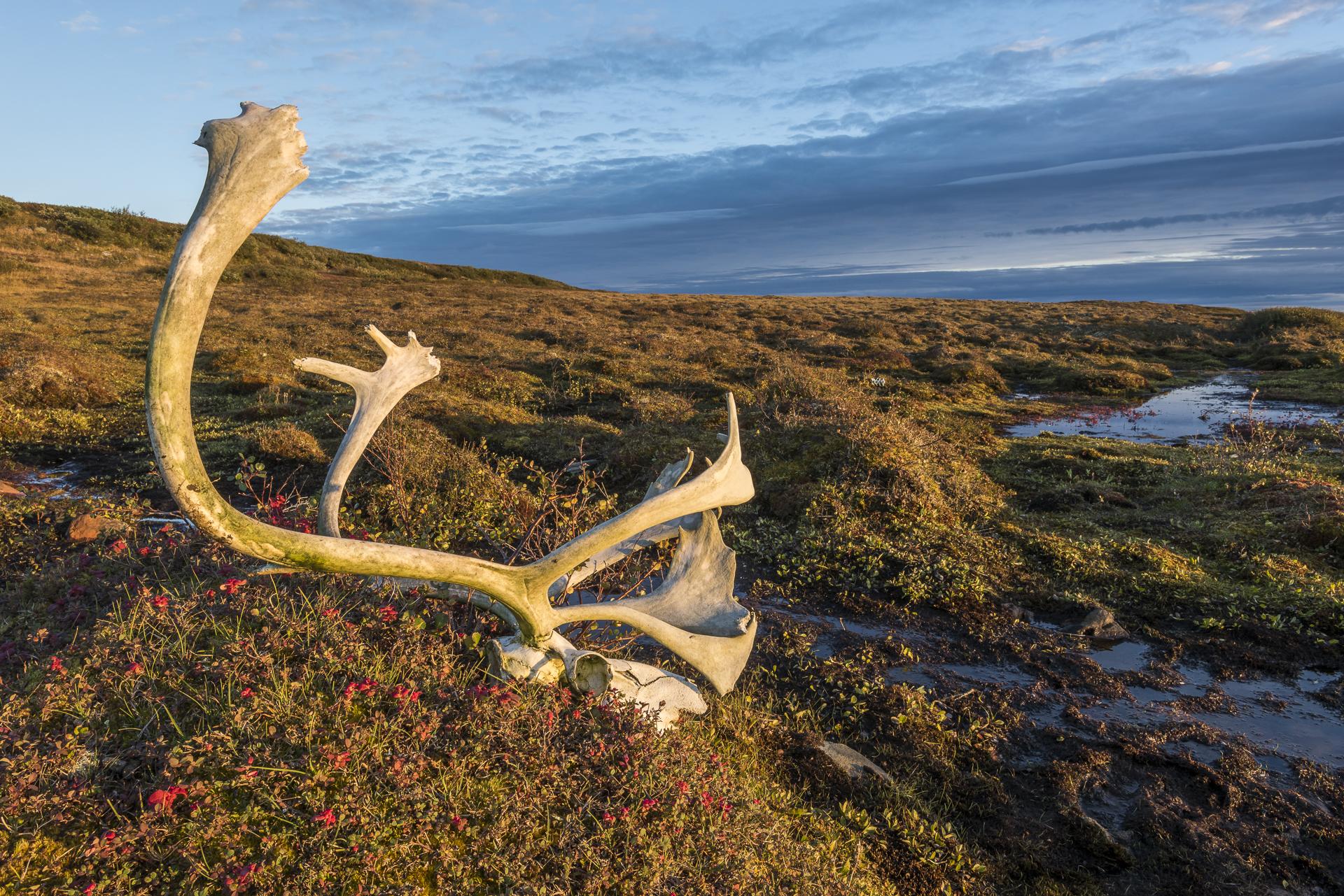 Caribou skull: Nunavik region, northern Quebec, Canada.