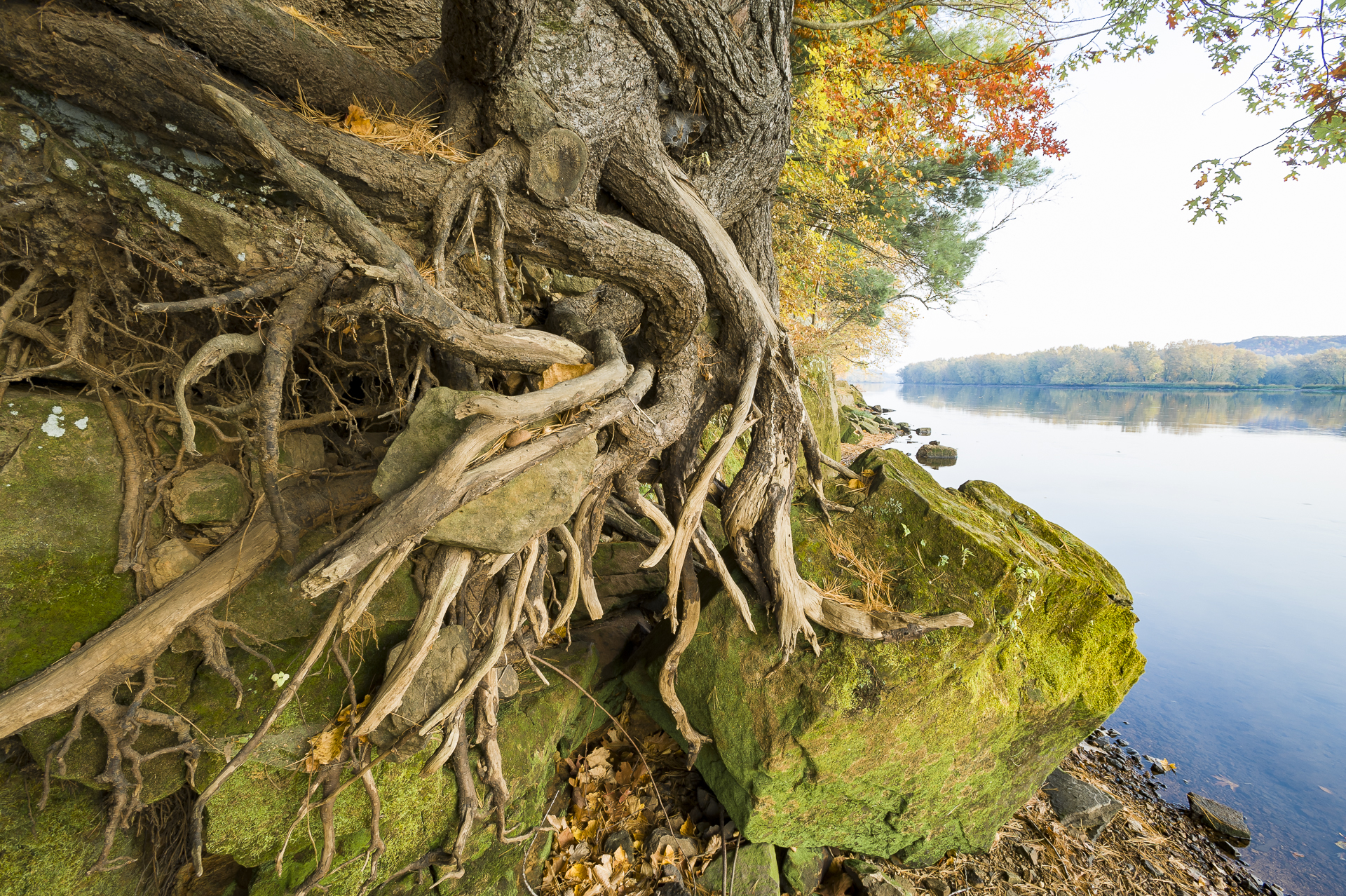 White pine roots: St. Croix River valley