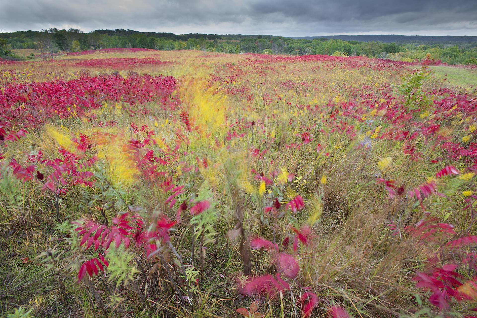 Ahead of the storm: sumac and goldenrods