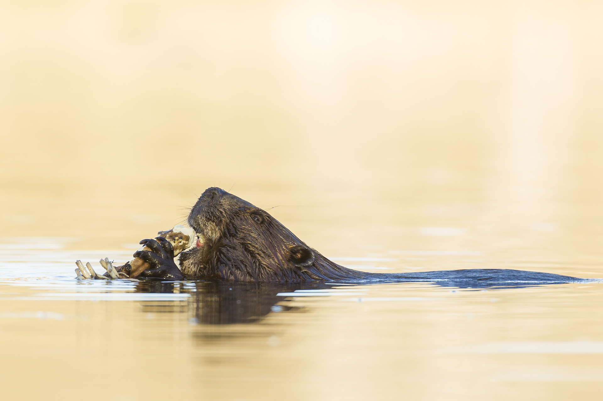 Beaver eating water lily tuber
