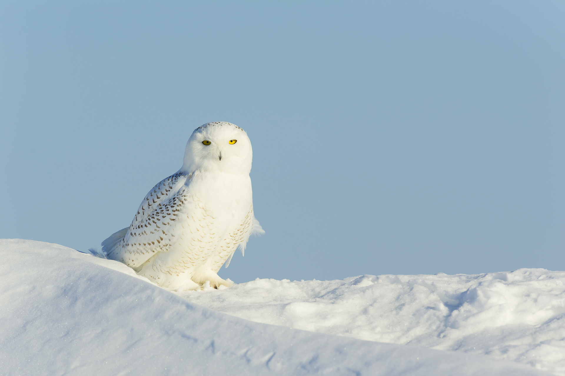Lone hunter: snowy owl