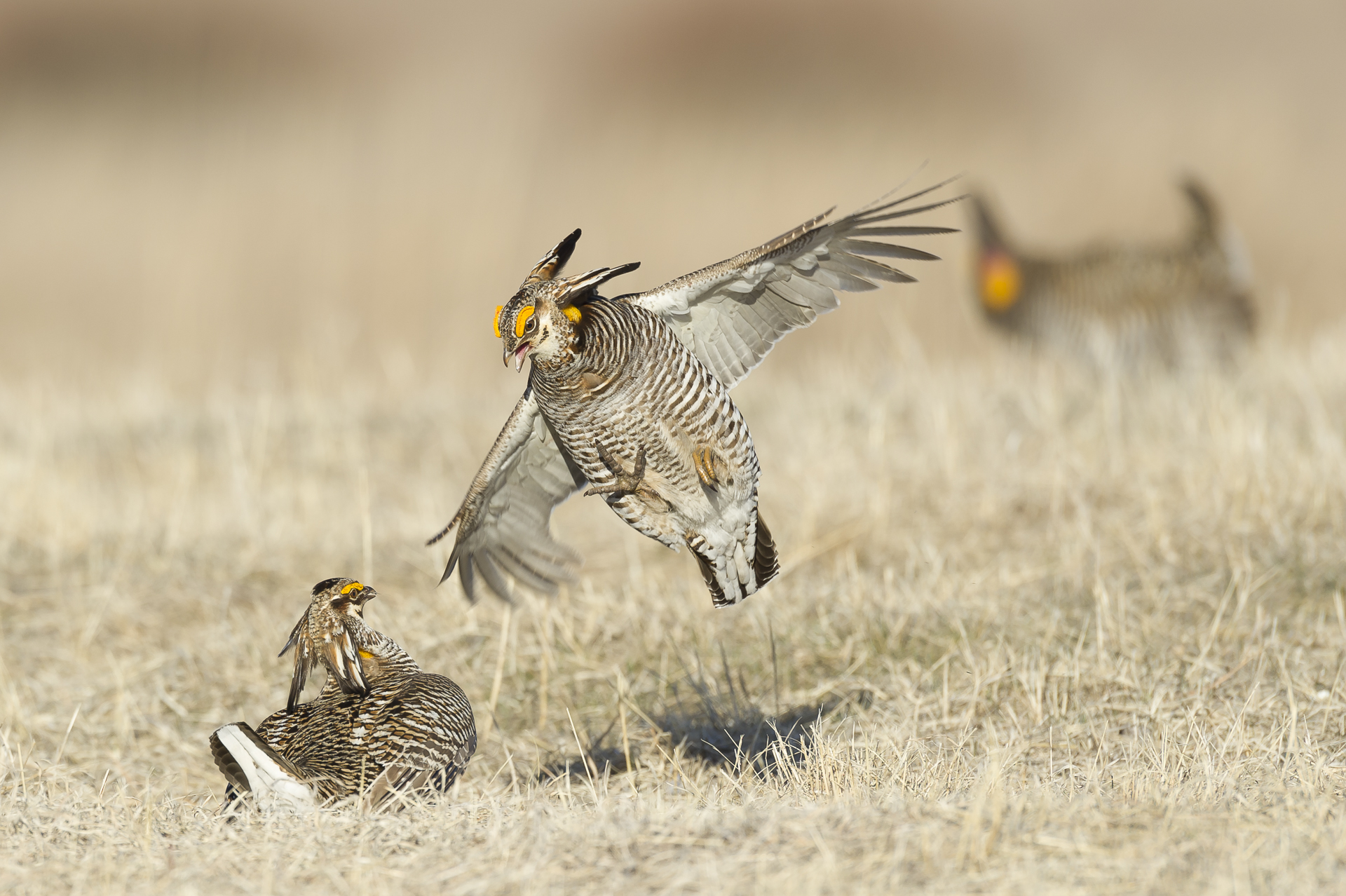 Cock fight: greater prairie chickens