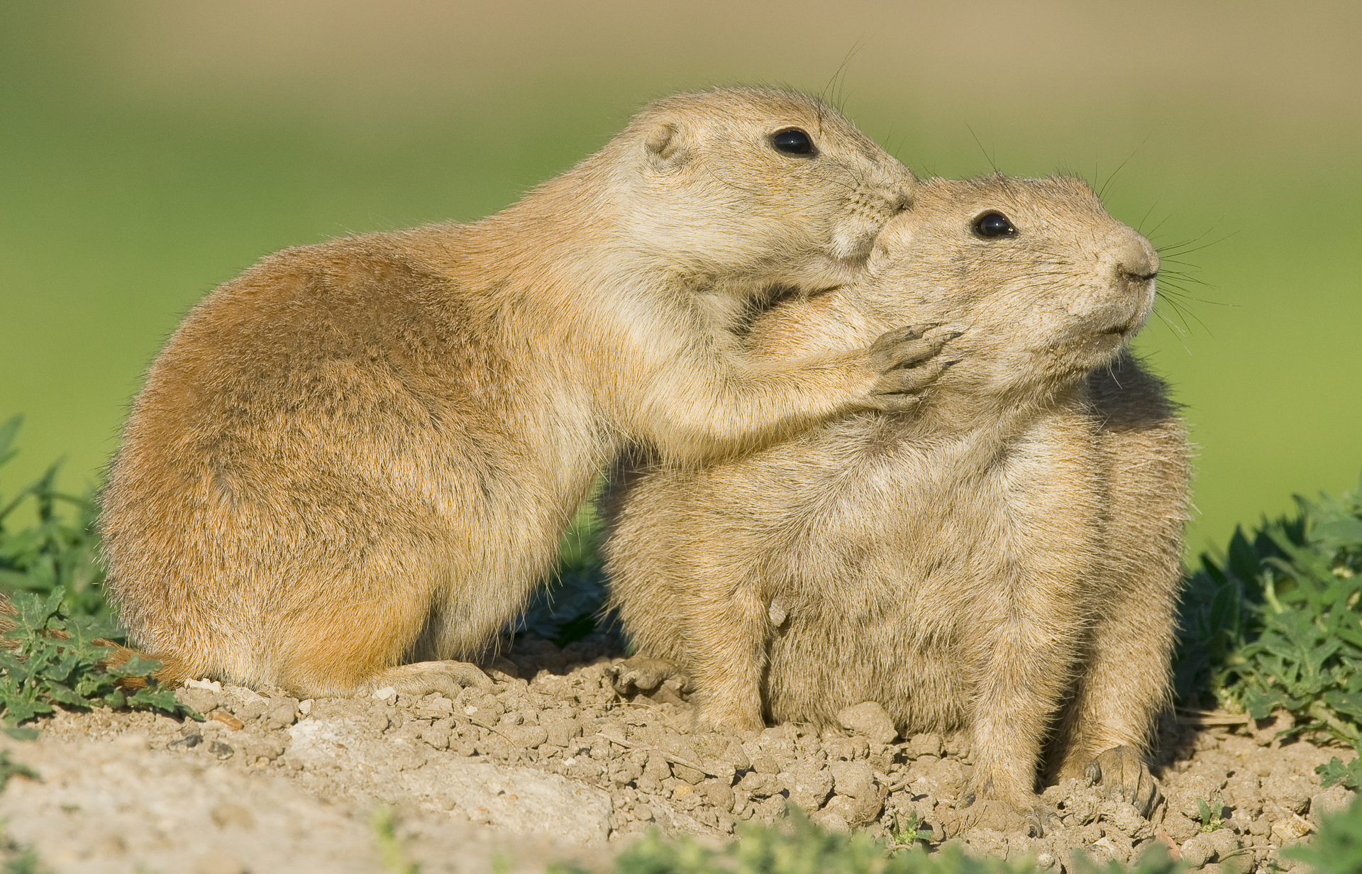 Prairie dogs grooming each other
