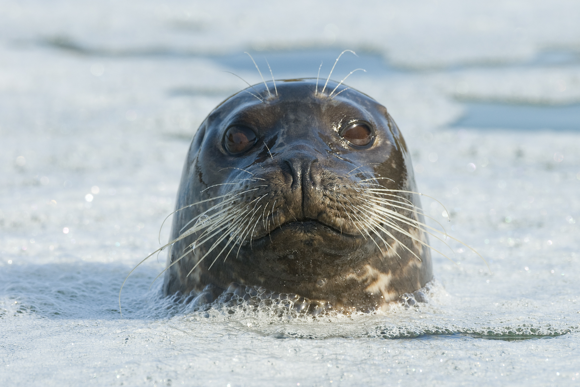 Harbor seal bobbing in the surf