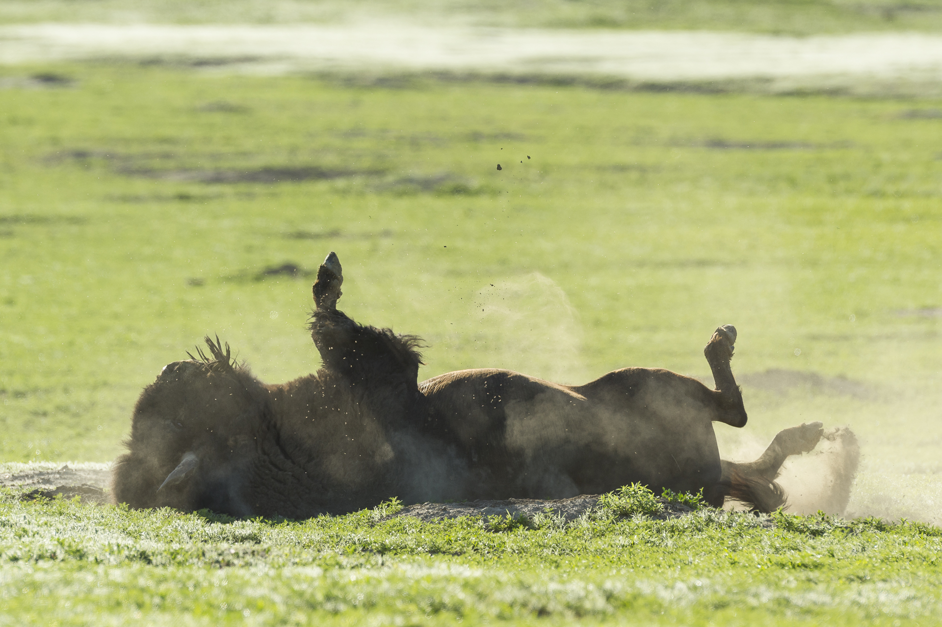 Bull bison dust bathing