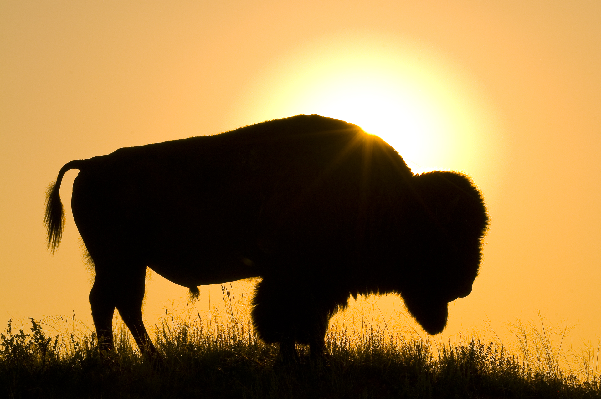 Iconic Wild West: bull bison