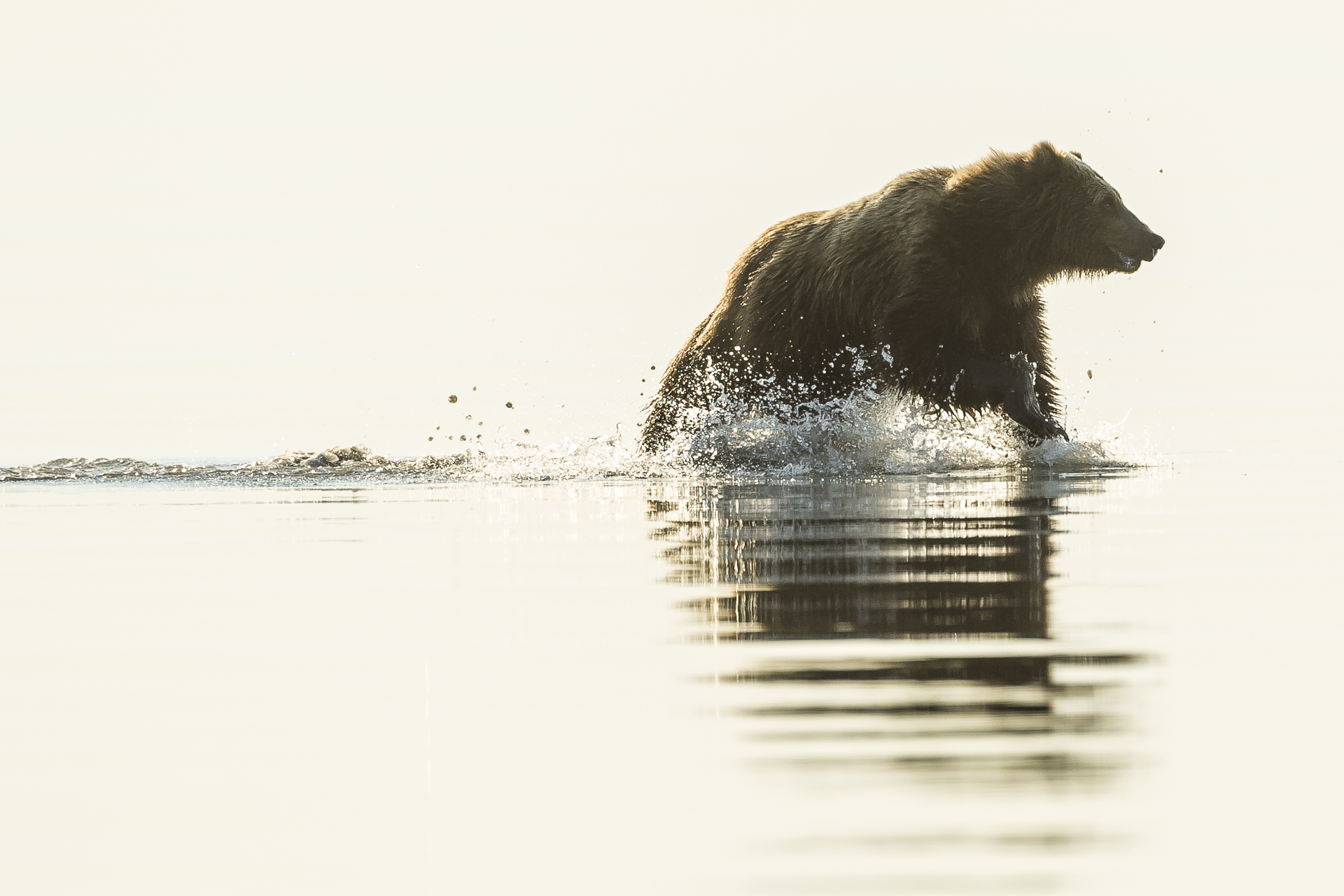 Brown bear running across tidal flat. Alaska.