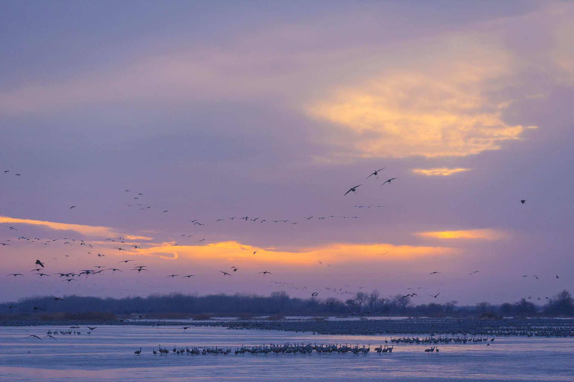 Sandhill cranes descend on the Platte River at sunset to roost