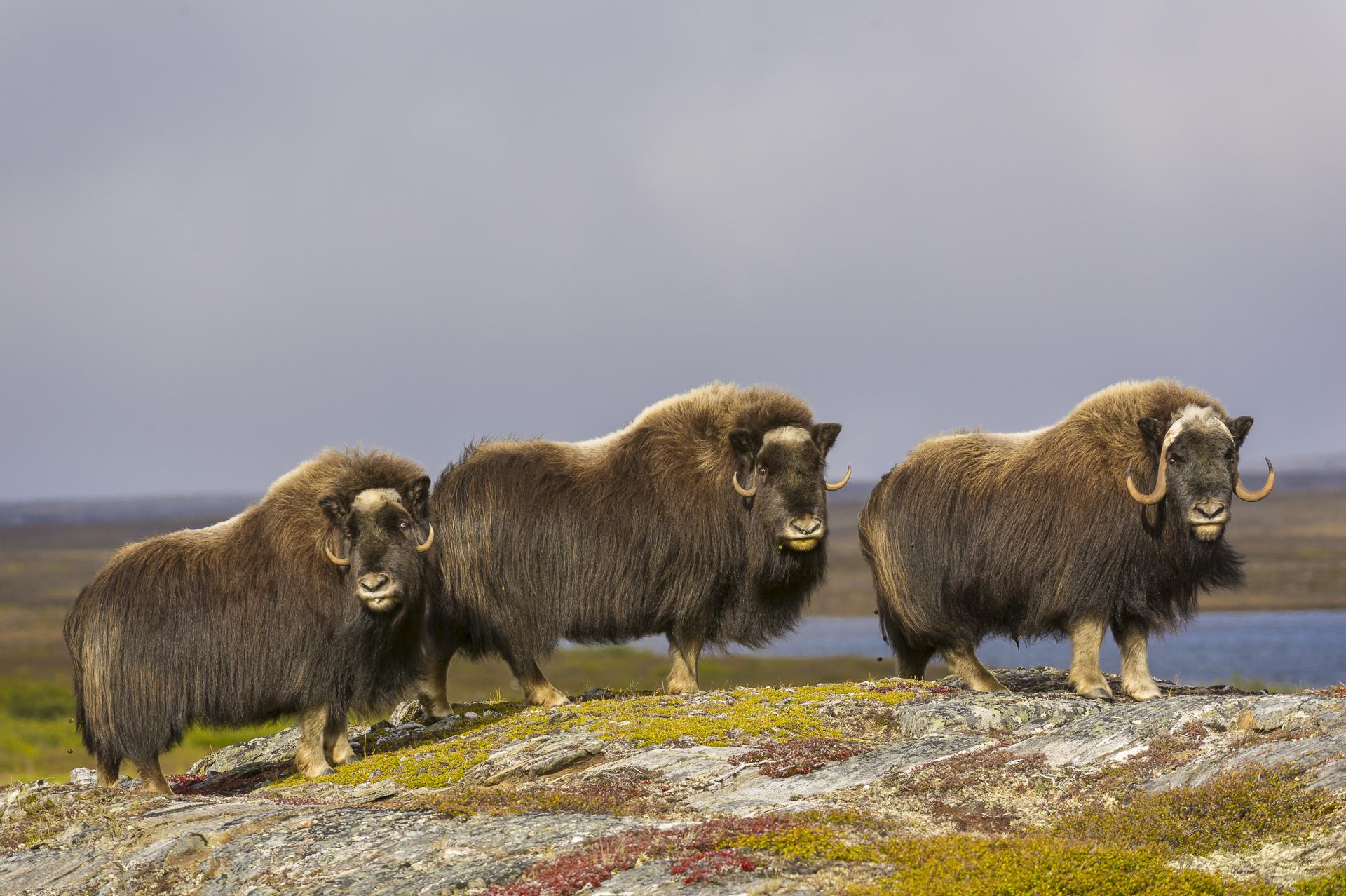 Muskoxen cresting a ridge