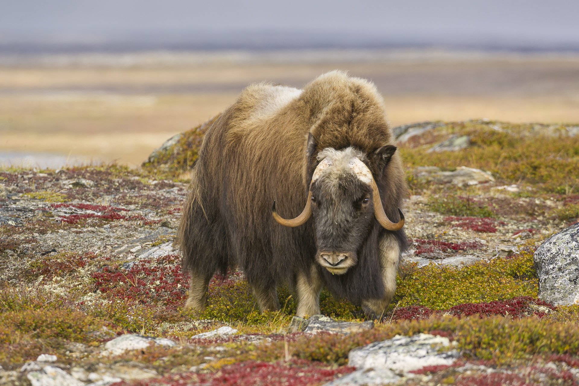 Bull muskox and tundra in fall colors