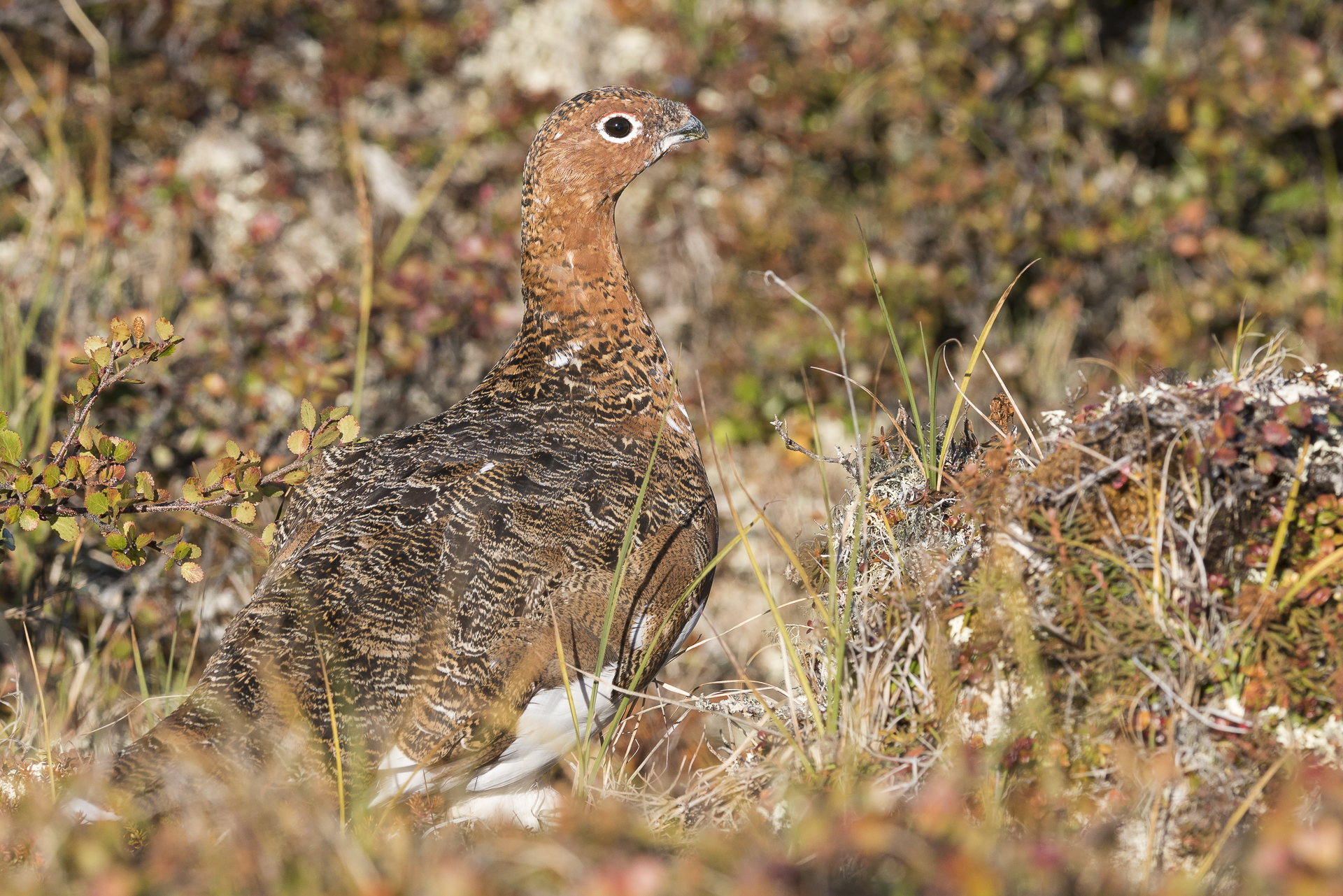 Willow ptarmigan displaying cryptic plumage