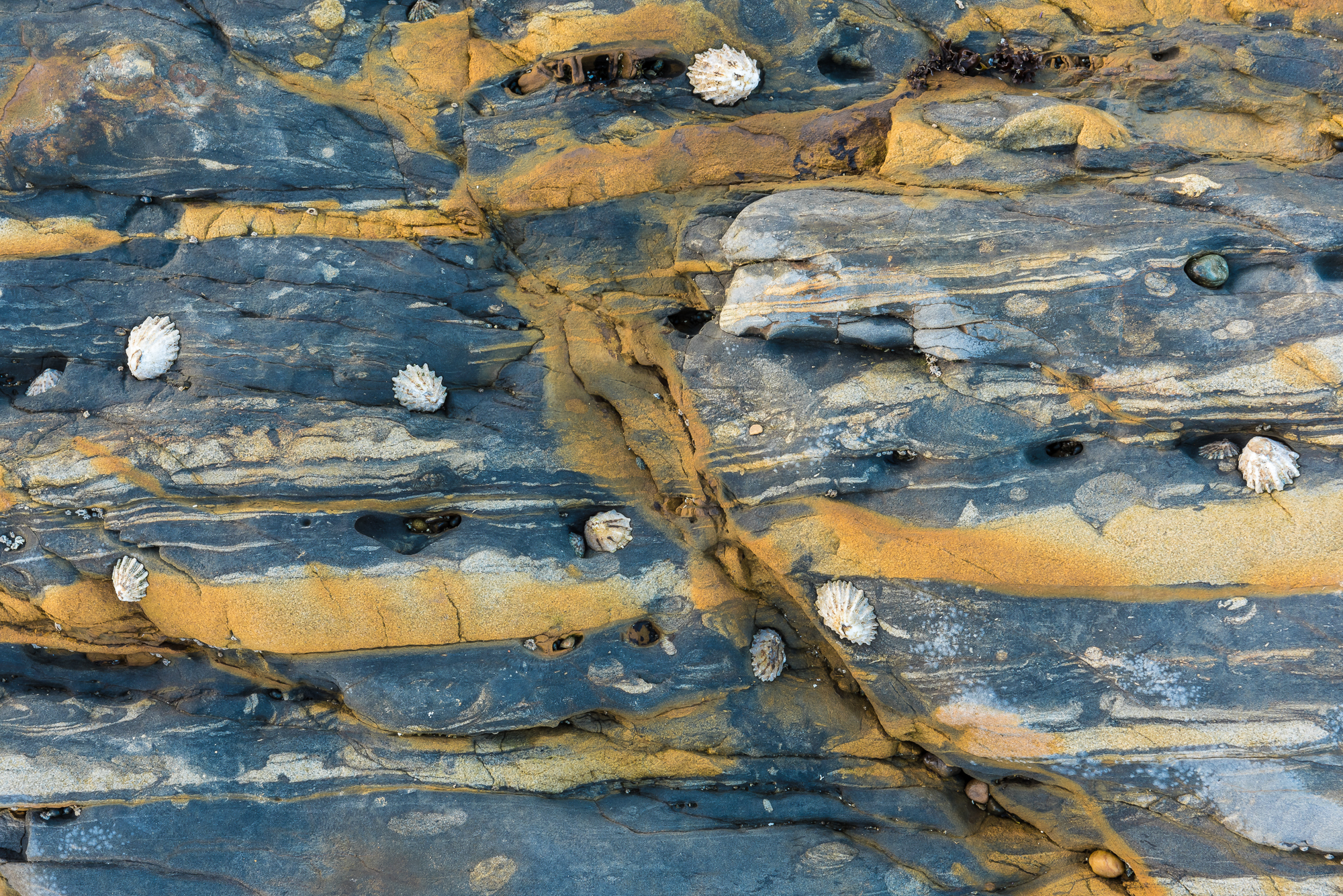 Barnacles and rock layers. Pt. Lobos Reserve, CA.