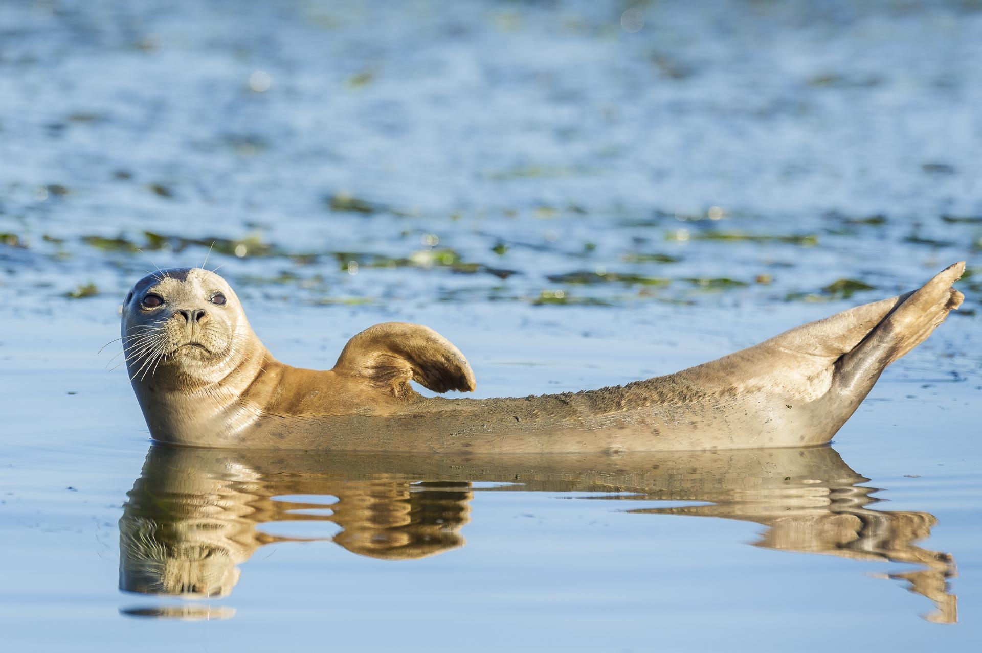 Harbor seal lounging.