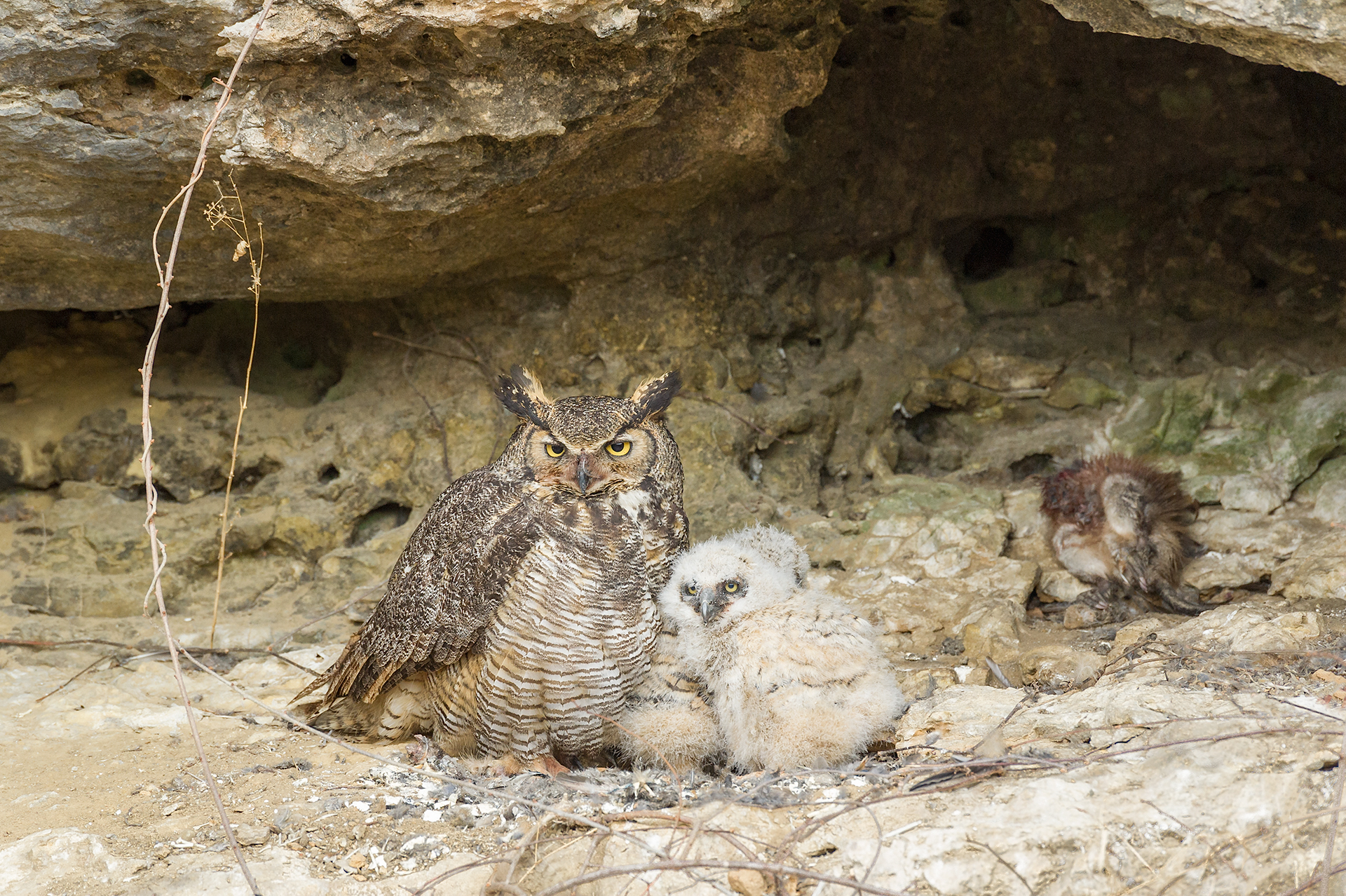 Great horned owl and young, with dead muskrat in back of cave