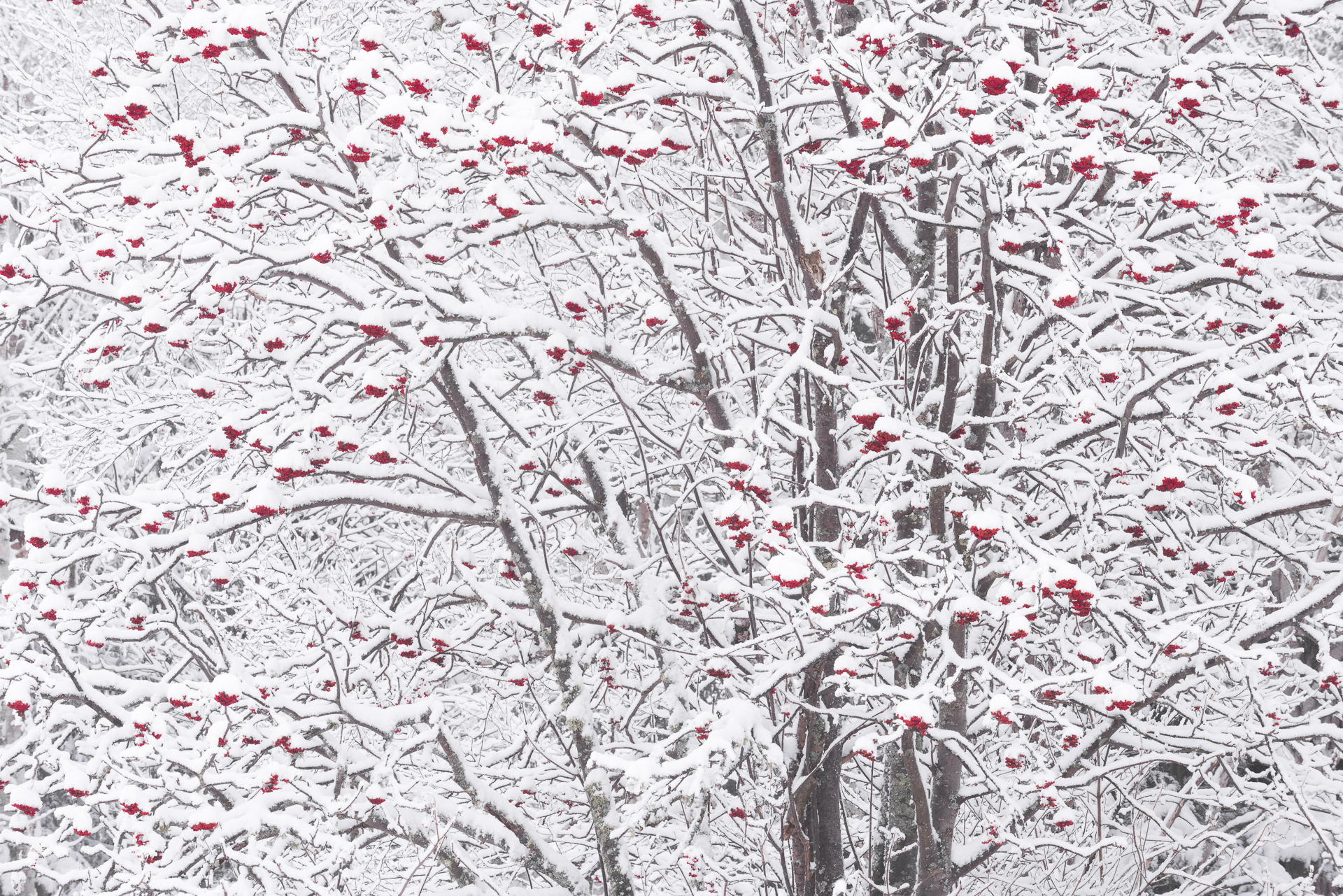 Mountain ash berries in snow storm
