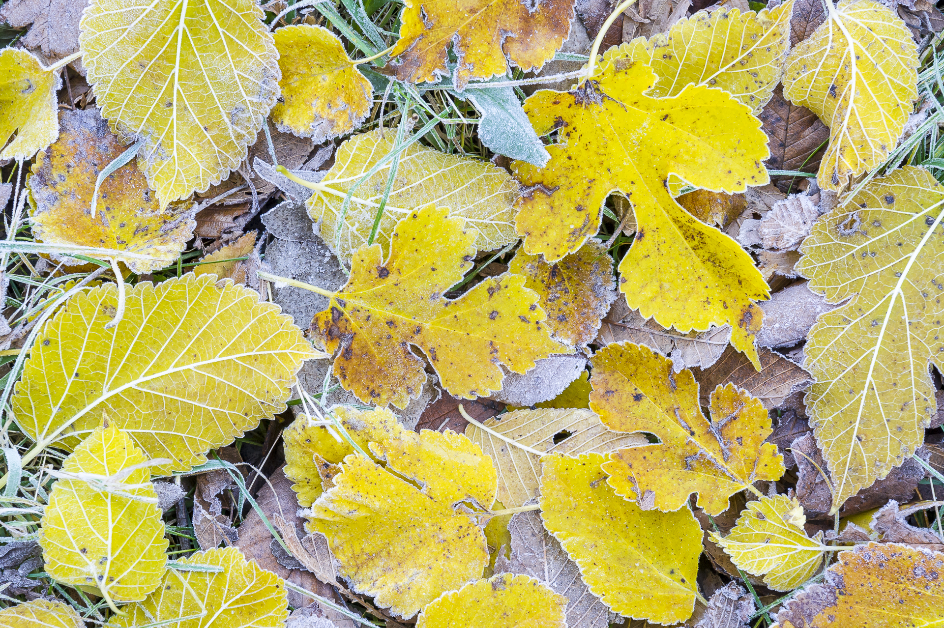 Frosted leaves: Fort Snelling State Park, MN.