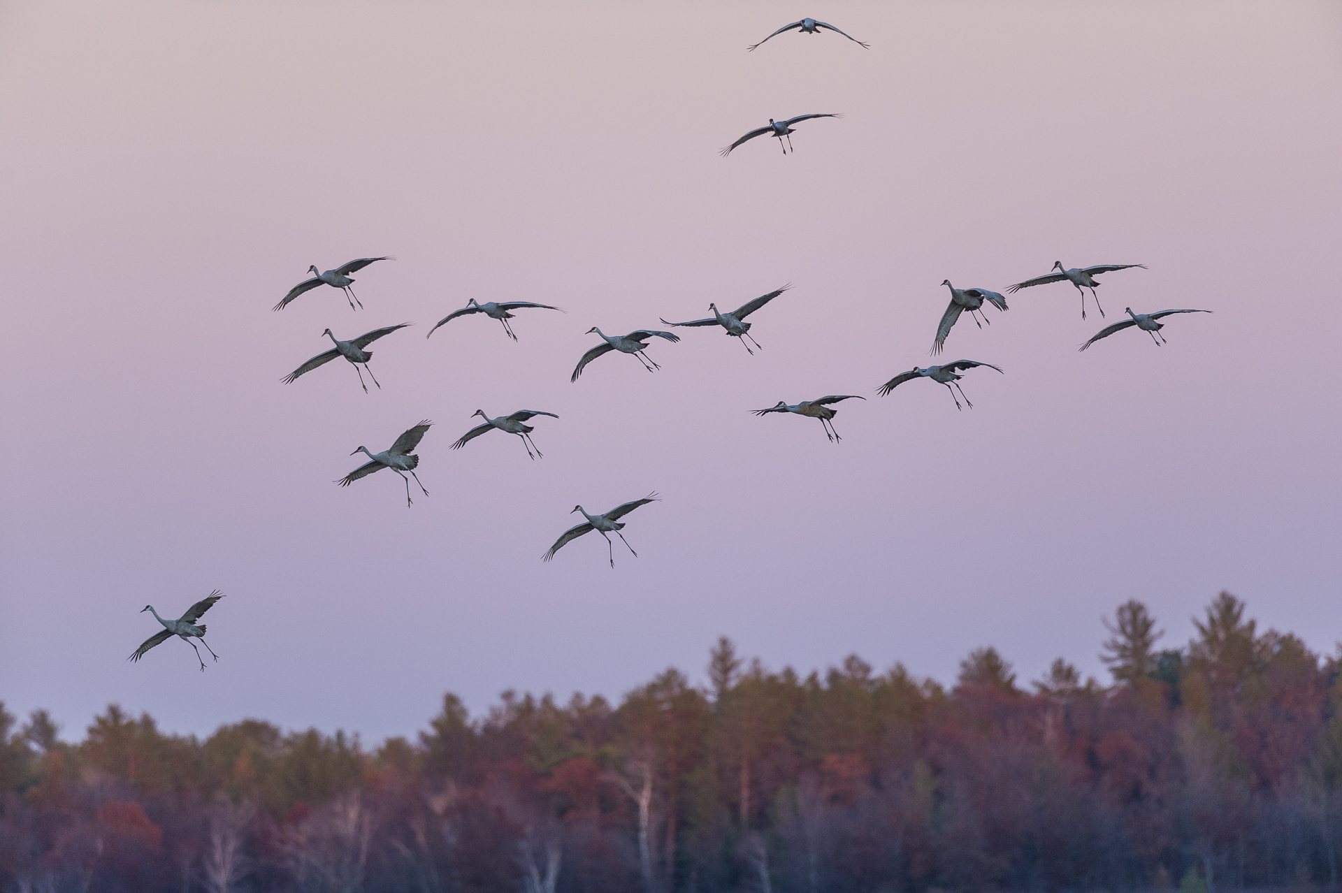 Sandhill cranes coming down to roost in wetland at sunset.