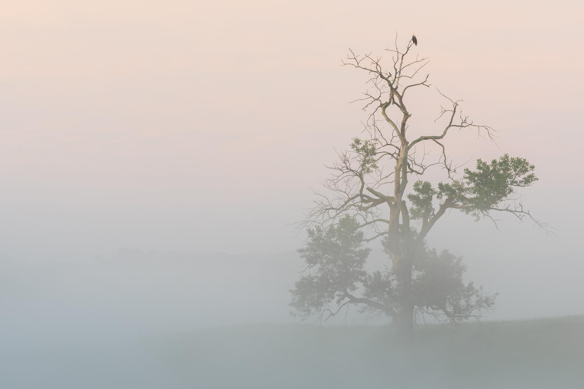 Foggy morning: bald eagle in cottonwood tree