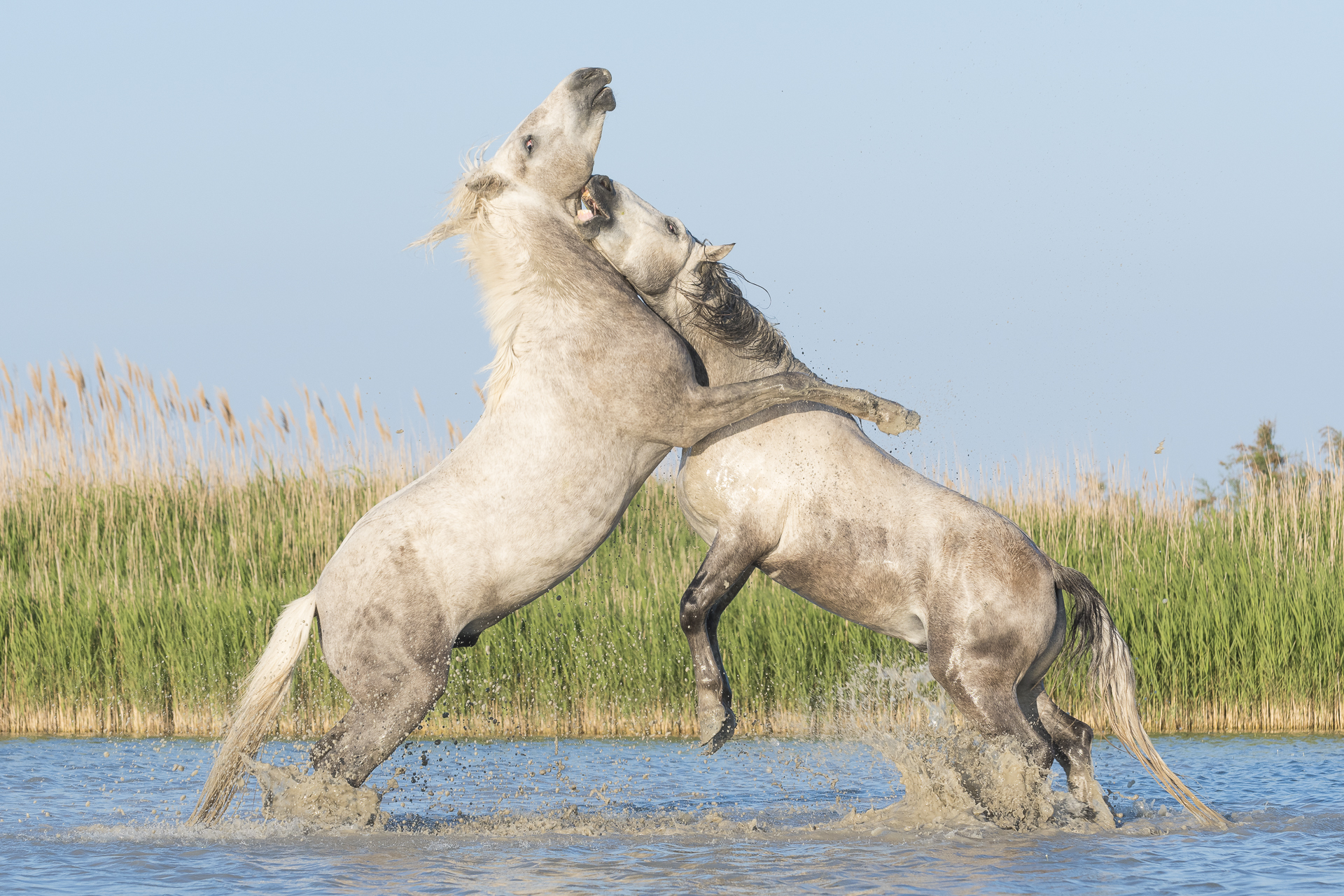 Stallions fighting. Parc naturel régional de Camargue. France.