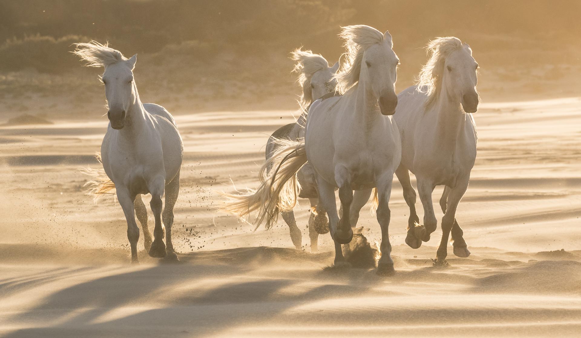 Camargue horses galloping in sand dunes. Parc naturel régional de Camargue, France.