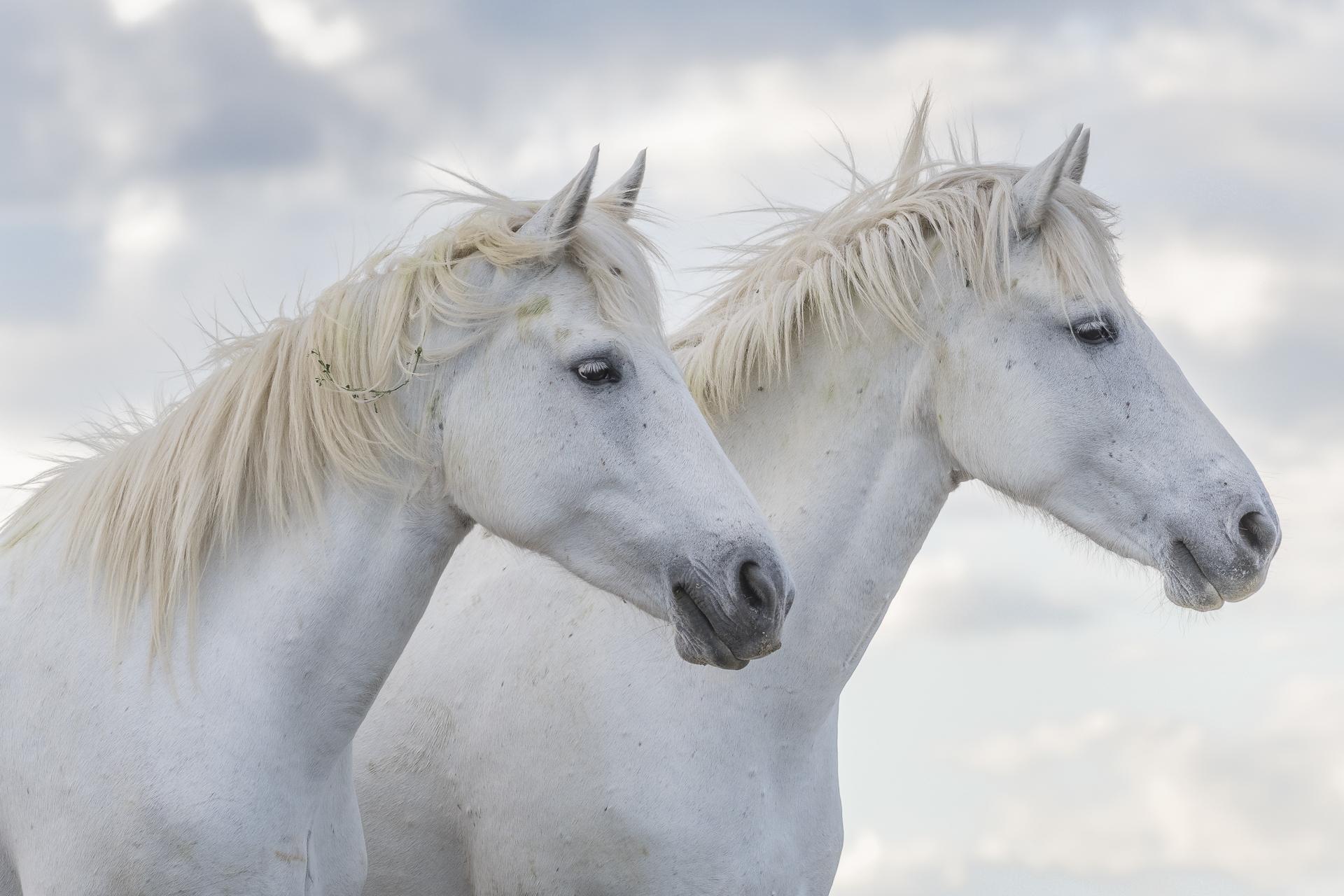 Camargue horses. Parc naturel régional de Camargue. France.