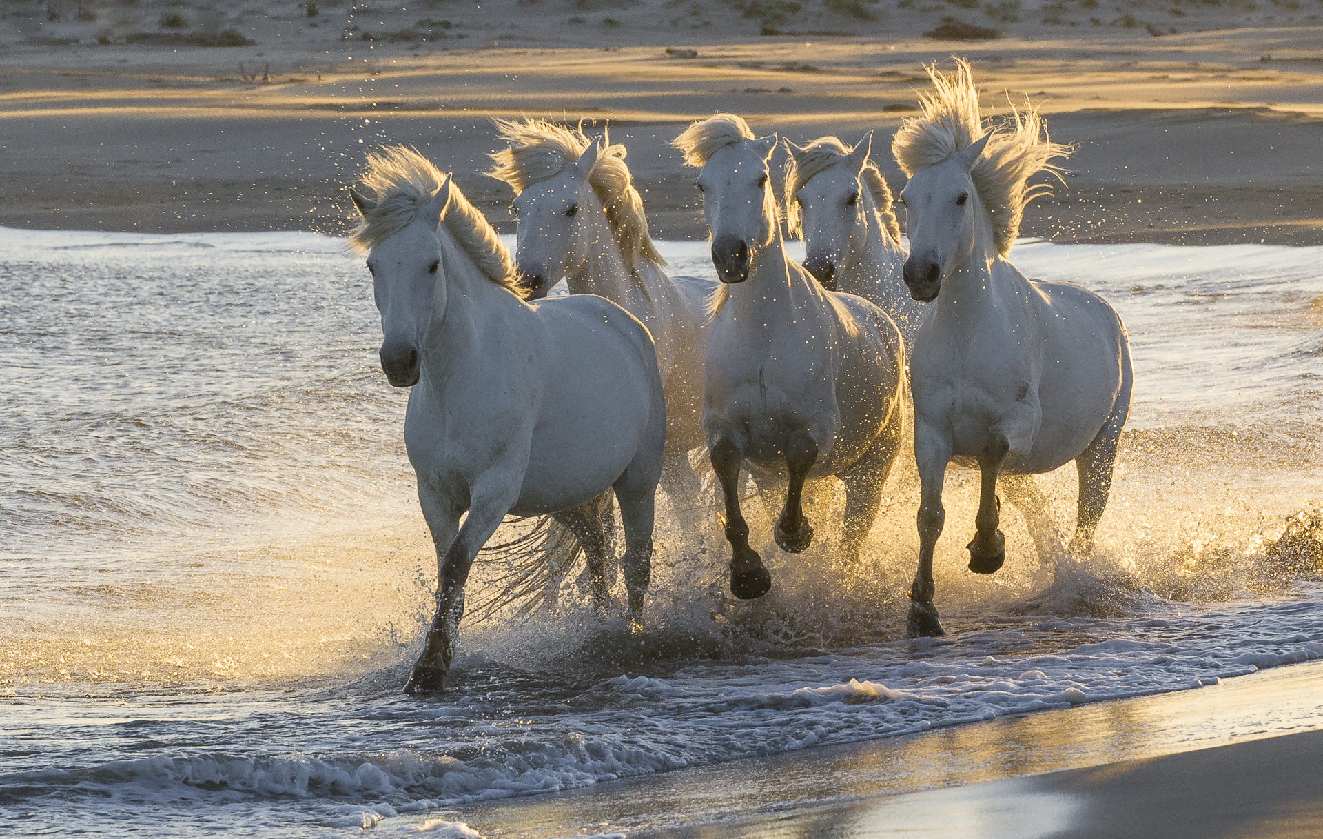 Camargue horses running on a Mediterranean beach. Parc naturel régional de Camargue. France.