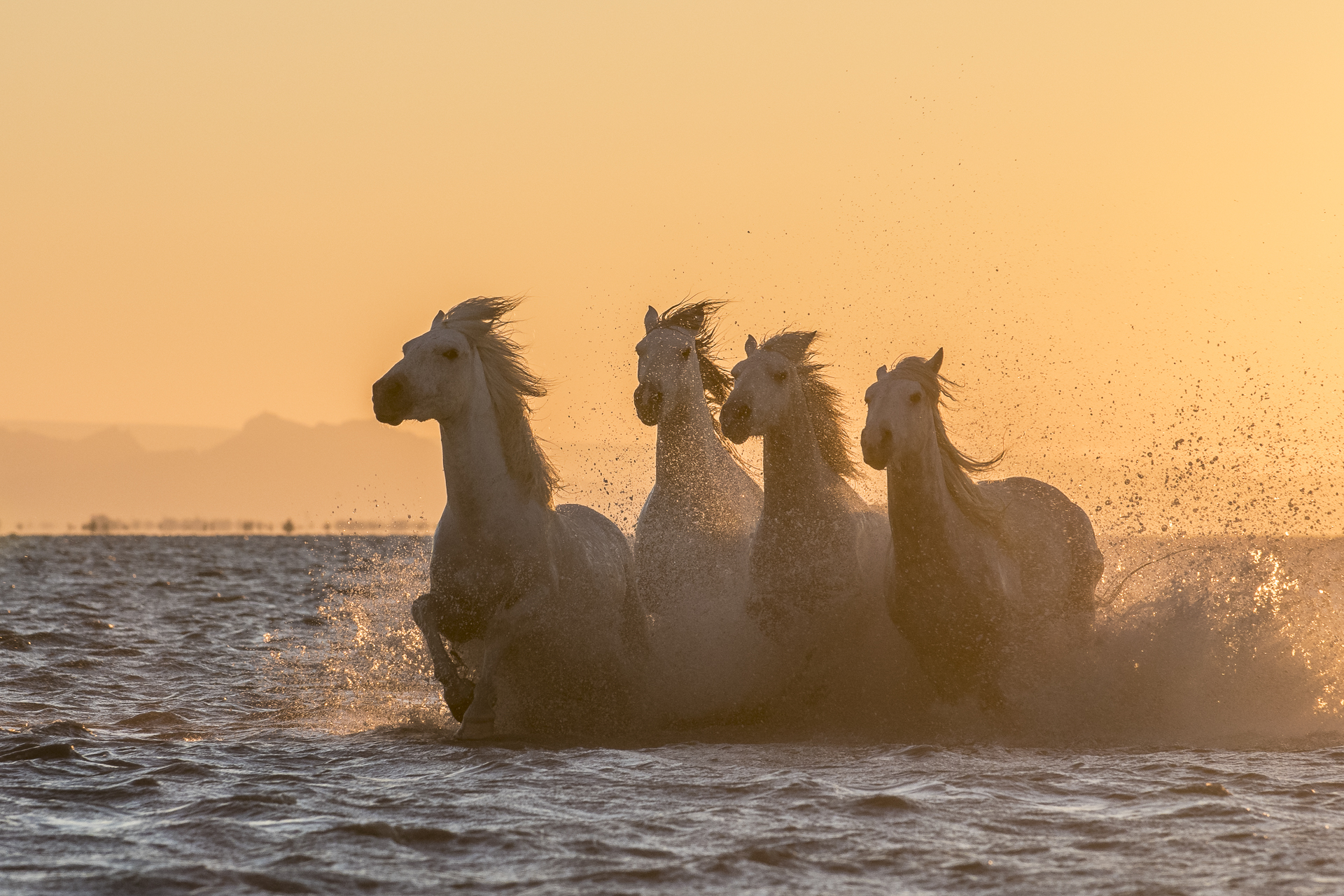 Horses running in Mediterranean surf at sunset. Parc naturel régional de Camargue. France.