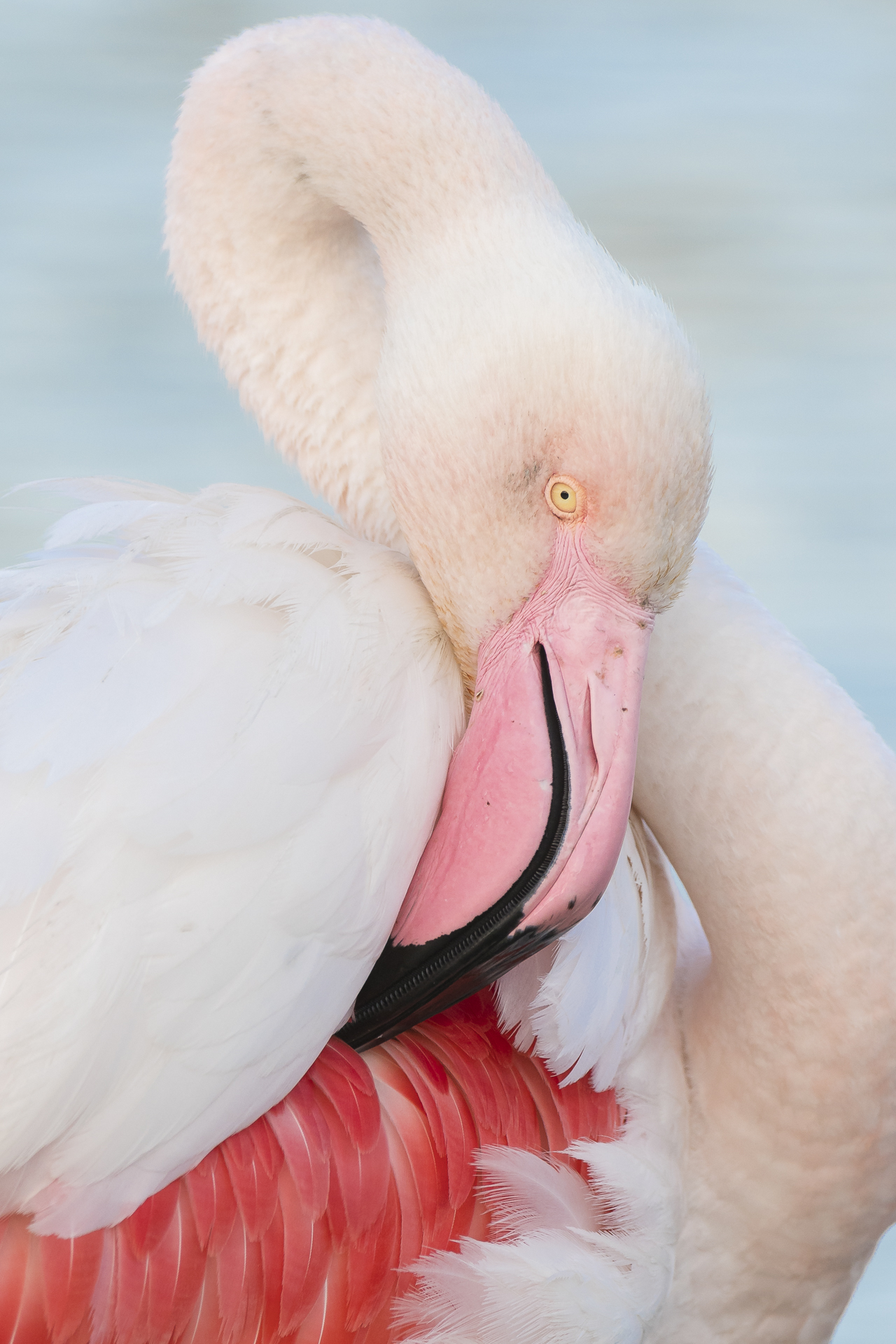 Greater flamingo preening. Pont-de Gau ornithological reserve, Saintes Maries de la Mer, France.