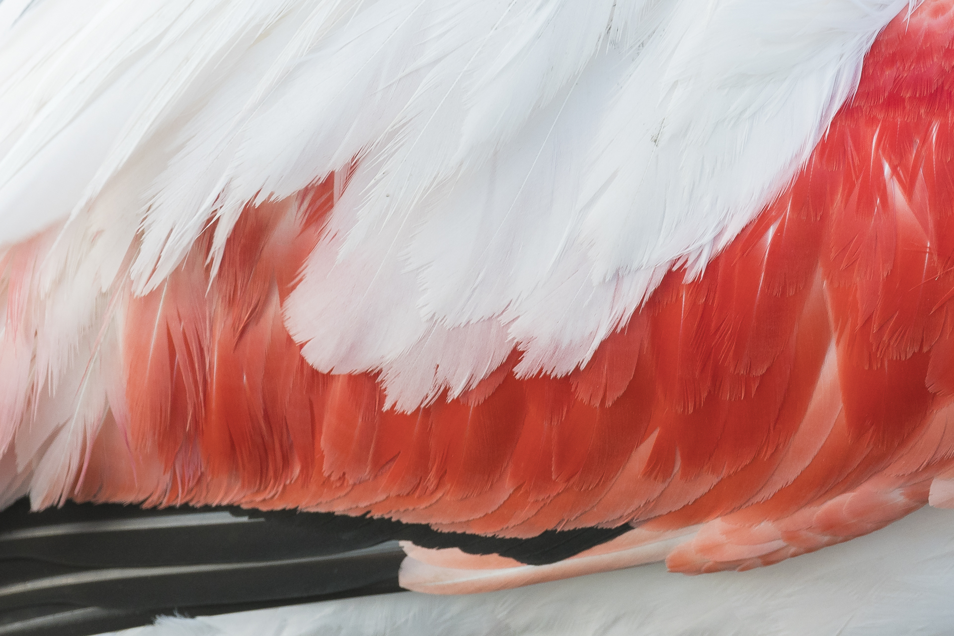 Detail of greater flamingo wing. Pont-de Gau ornithological reserve, Saintes Maries de la Mer, France.