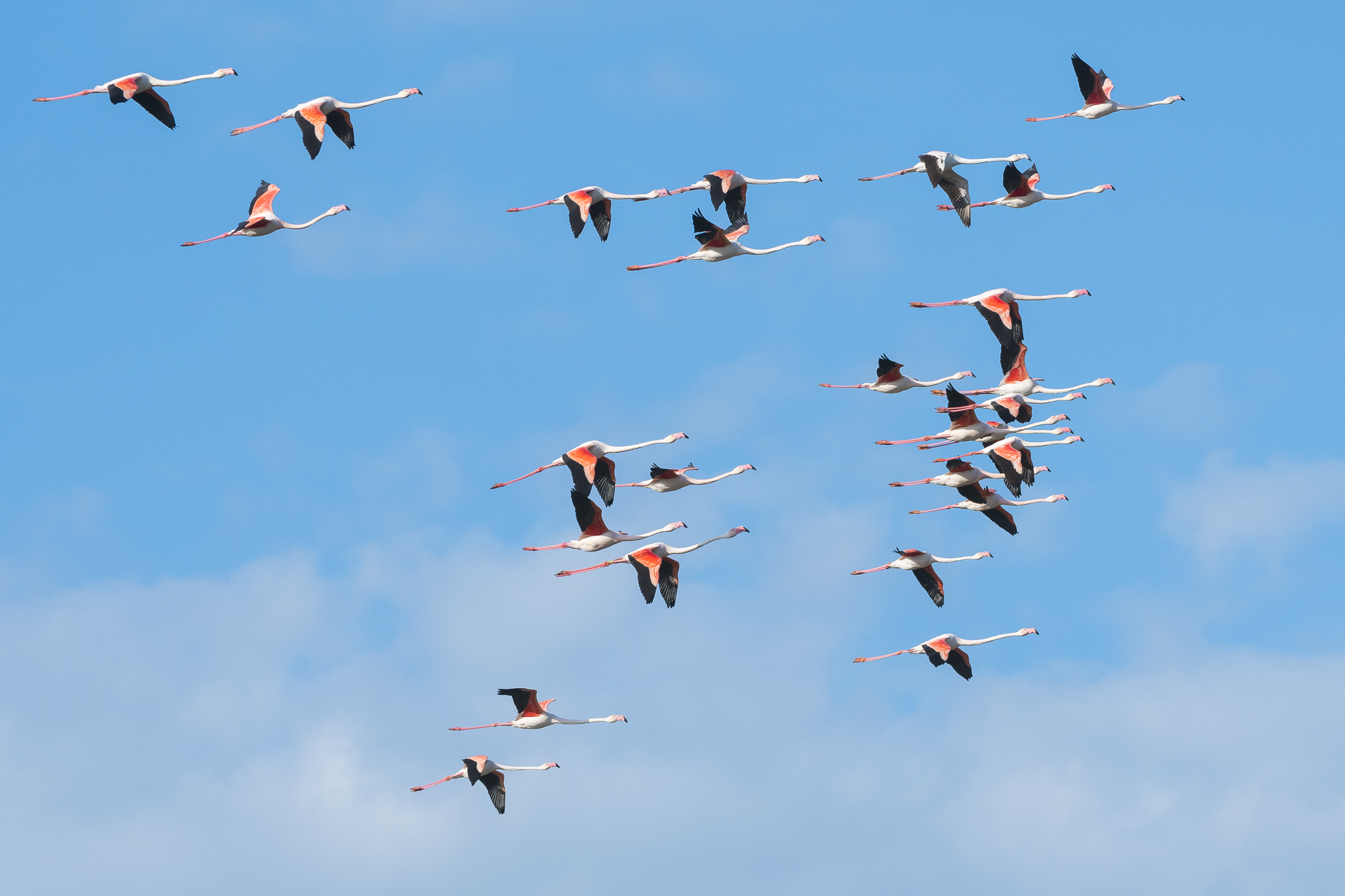 Flock of greater flamingos. Parc naturel régional de Camargue, France.