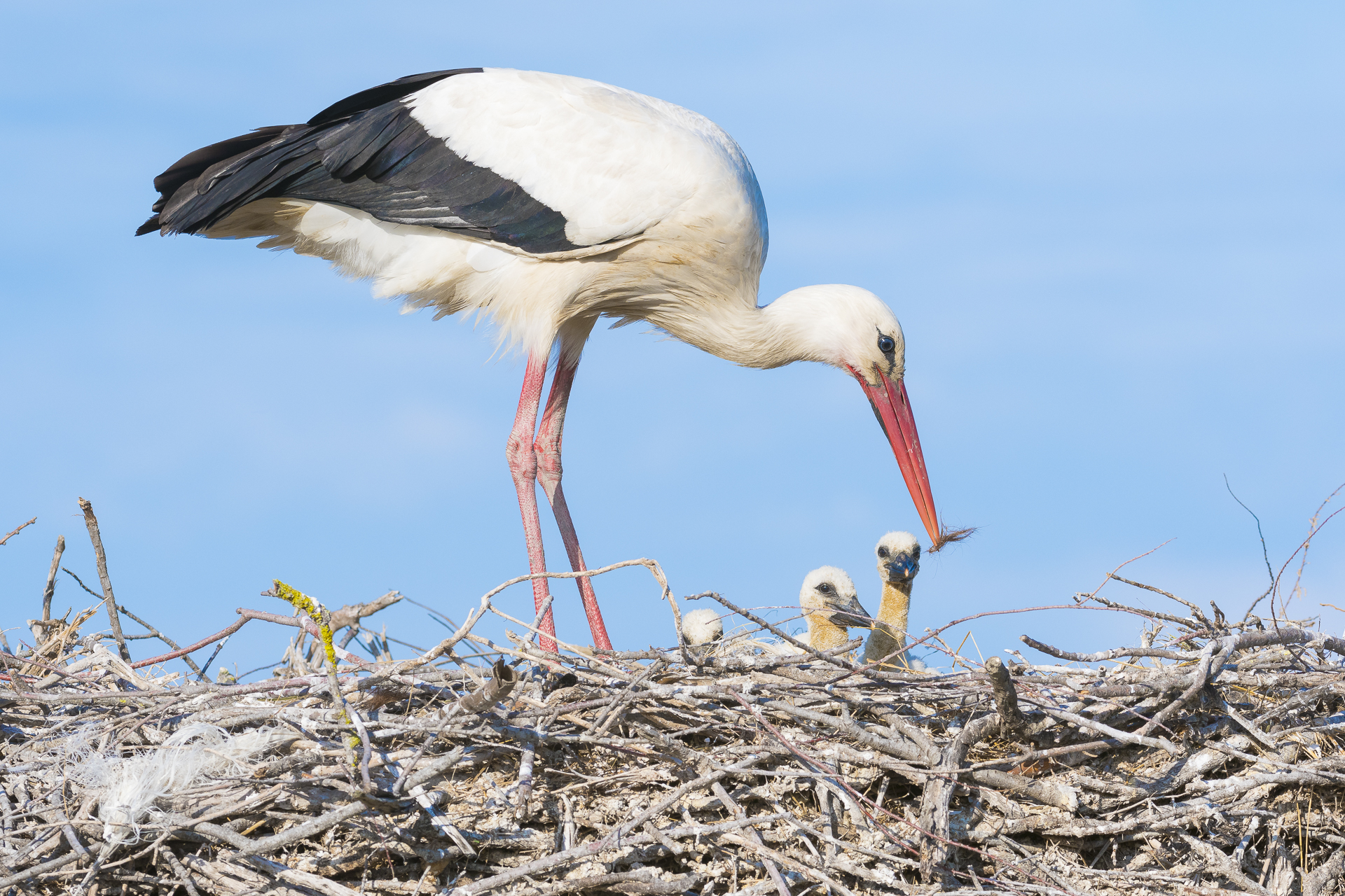 White stork and chicks on their nest. Pont-de-Gau ornithological reserve, Saintes Maries de la Mer, France.