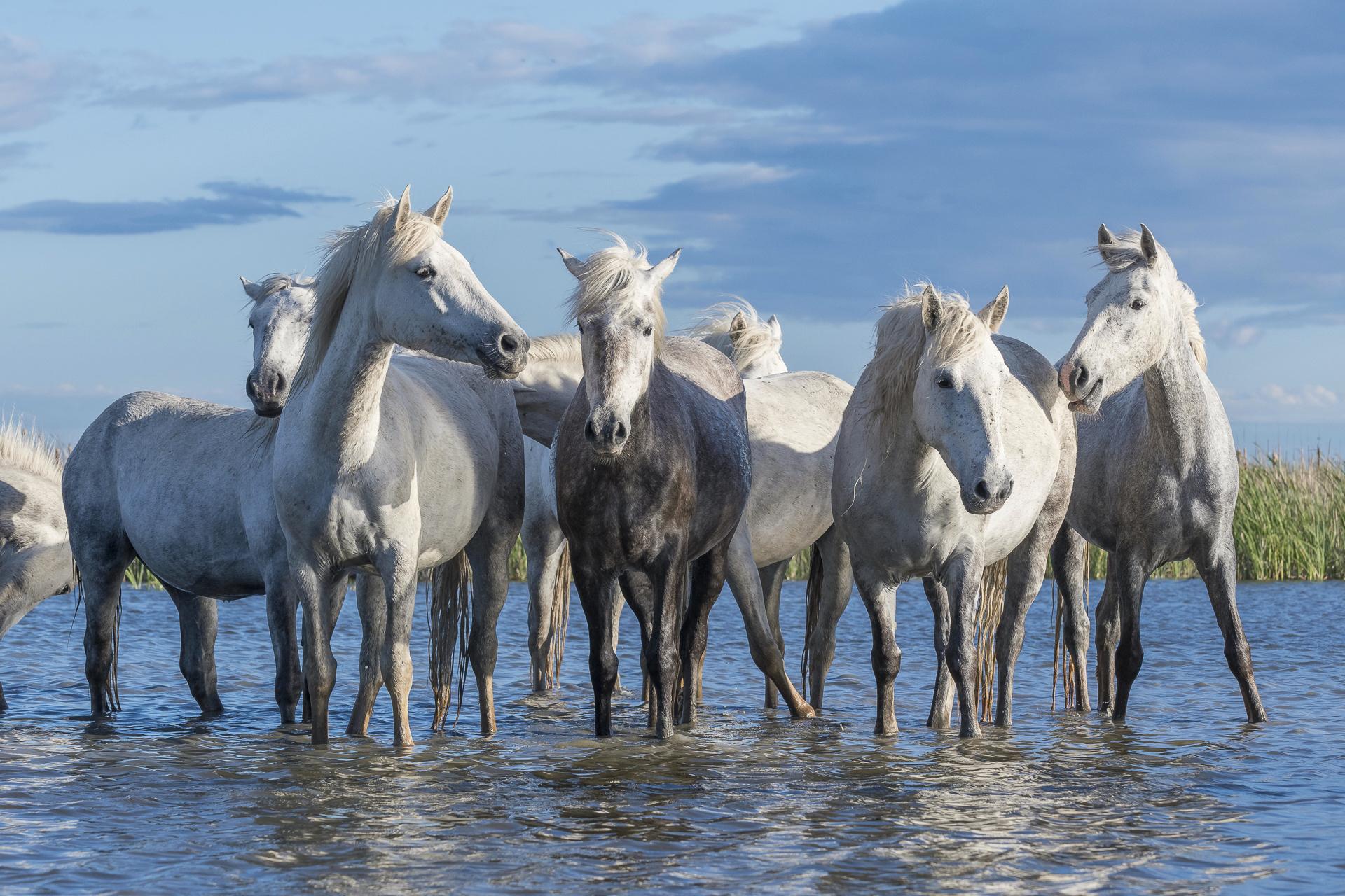 Camargue horses standing in a wetland. Parc naturel régional de Camargue. France.