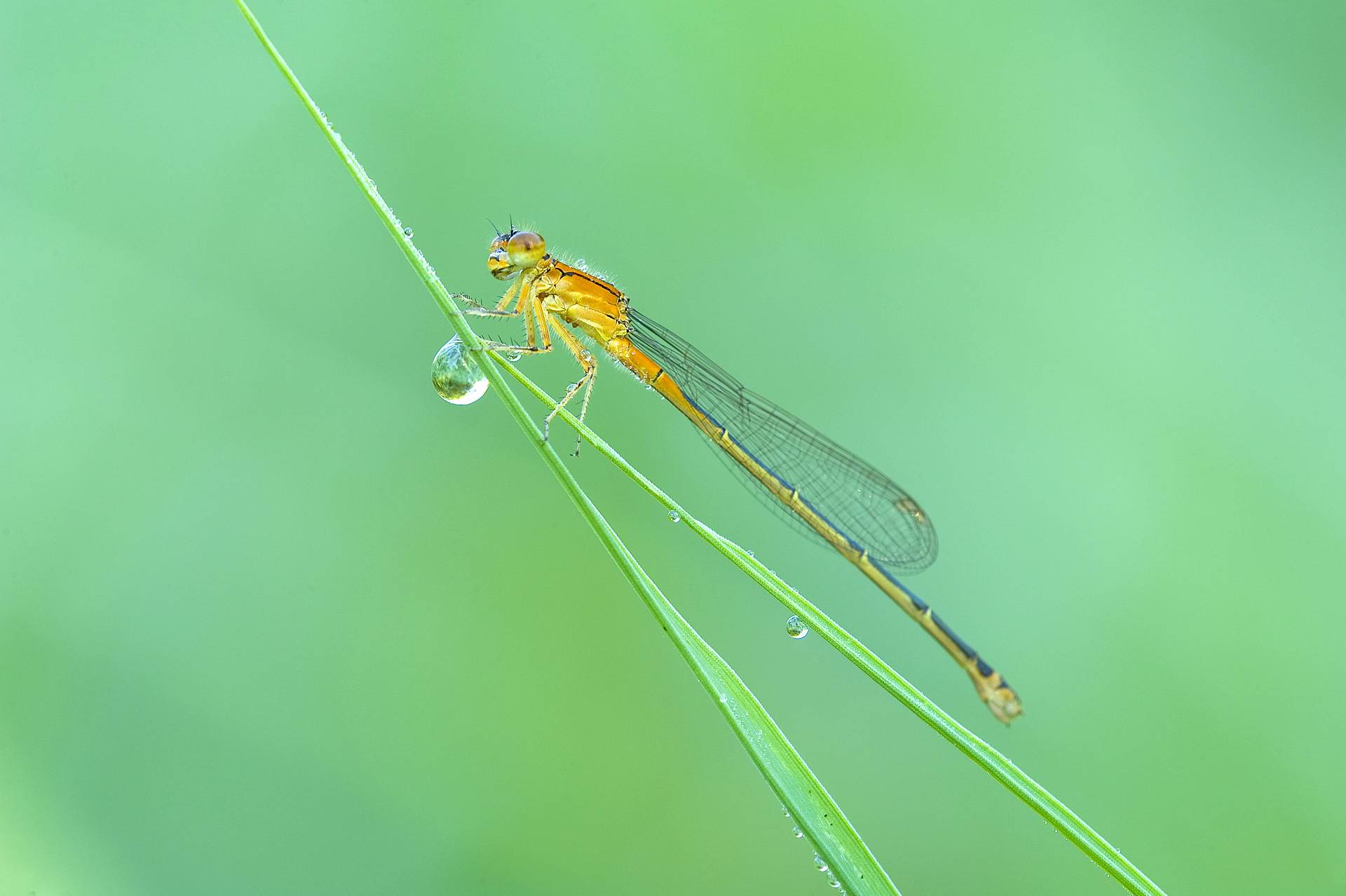 Damselfly and dew drop
