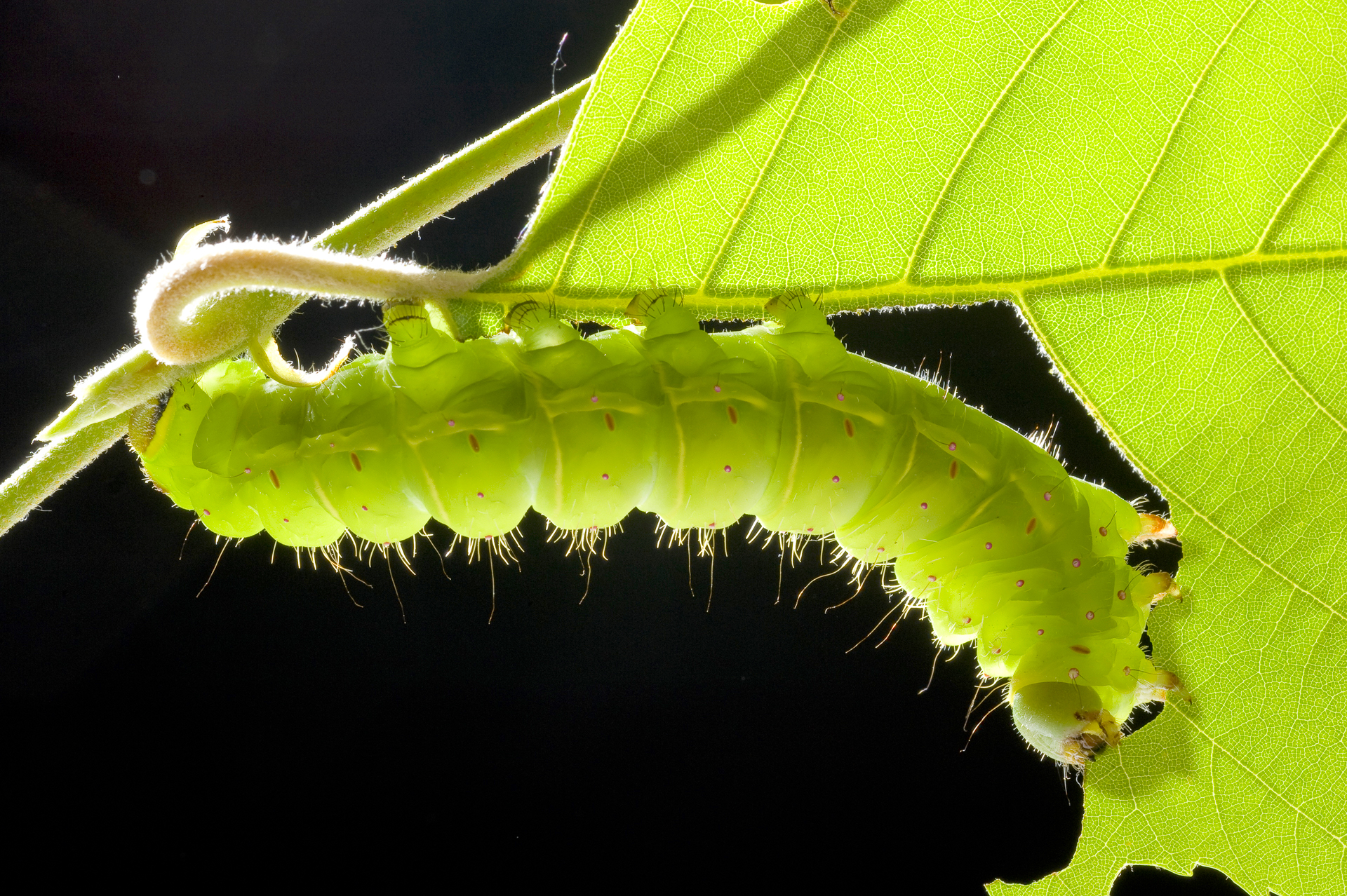 Luna moth caterpillar eating a birch leaf