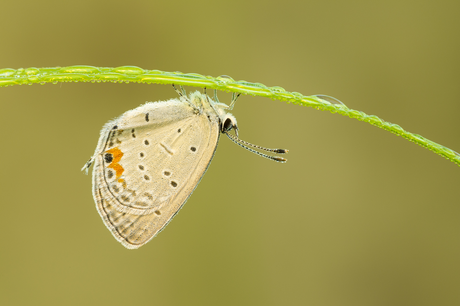 Eastern-tailed Blue butterfly resting underneath a dew-covered blade of grass