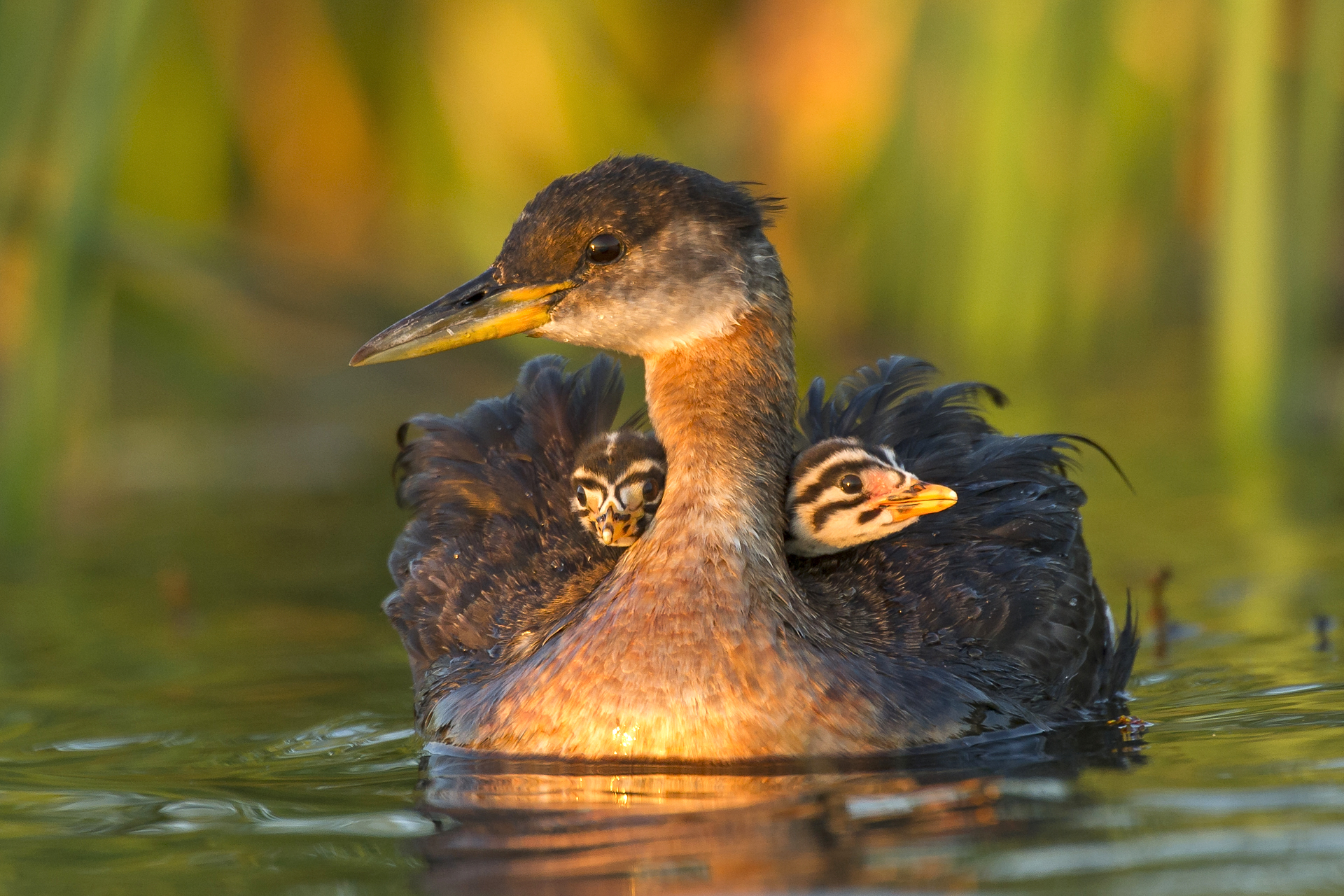 Precious cargo: red-necked grebes
