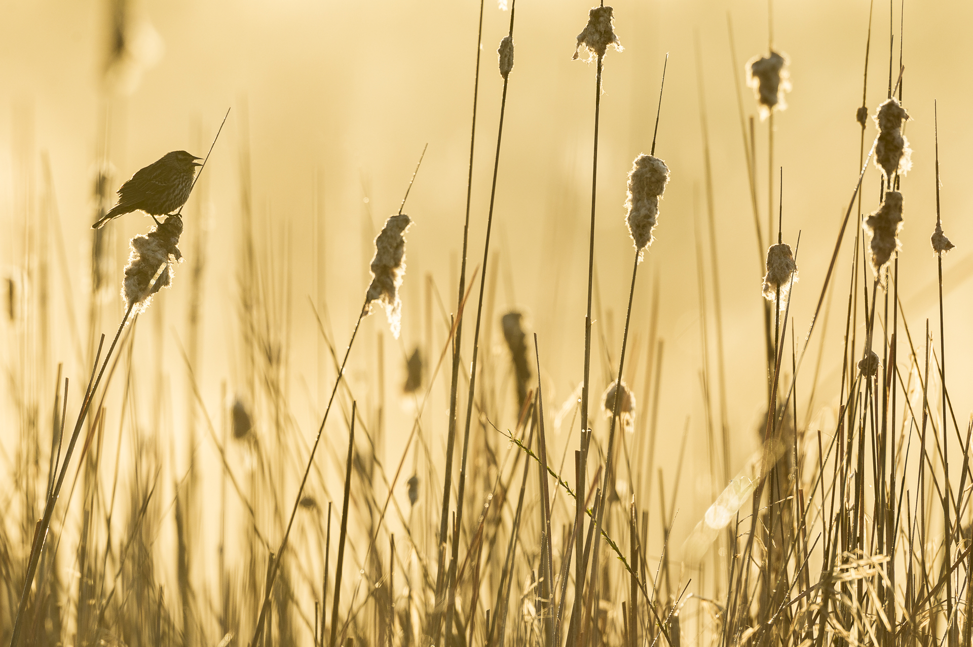 Silhouetted female red-winged blackbird.