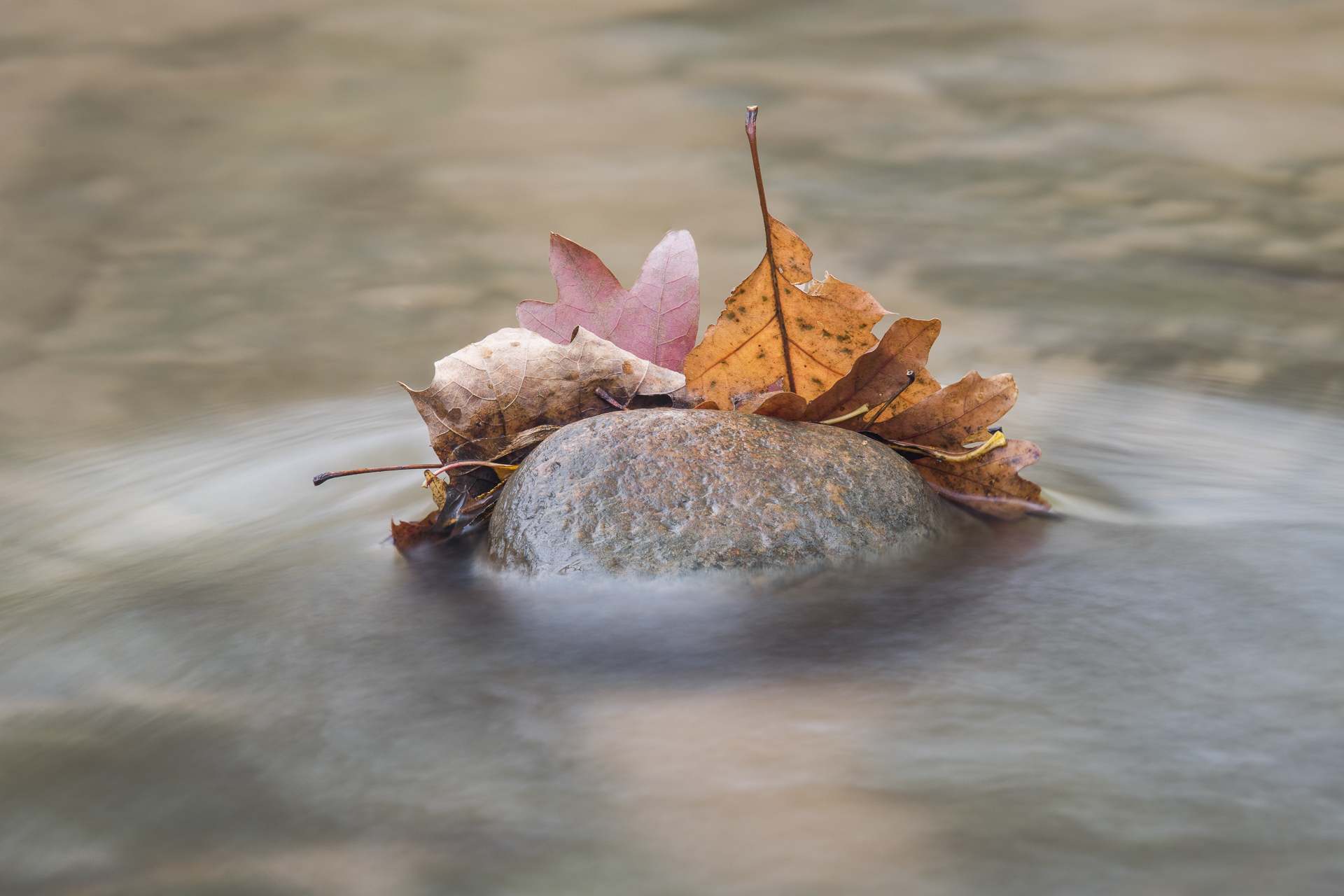 Oak leaves in Prairie Creek. Nerstrand SP, MN.