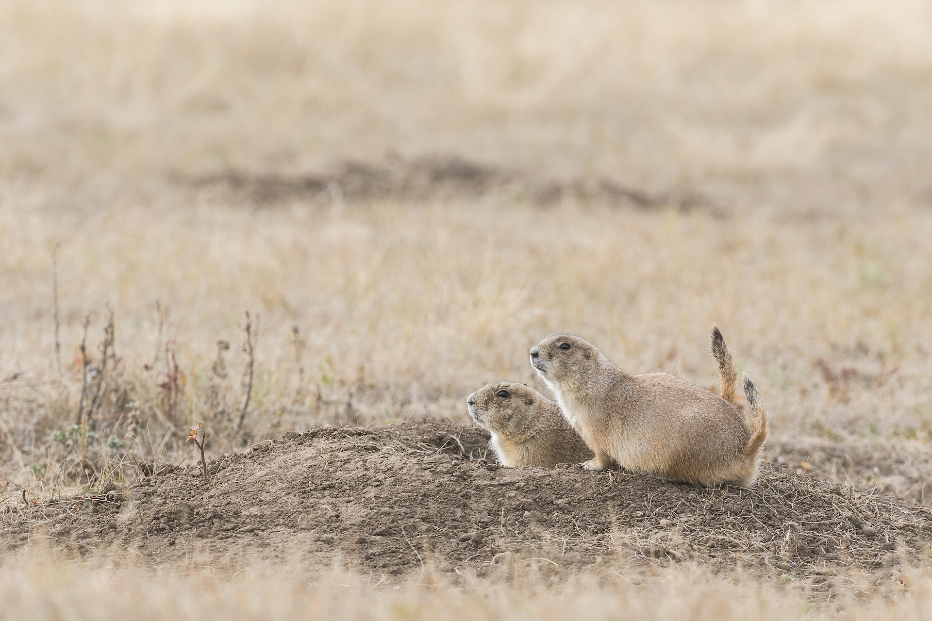 Prairie dogs on the lookout. Wind Cave NP, SD.