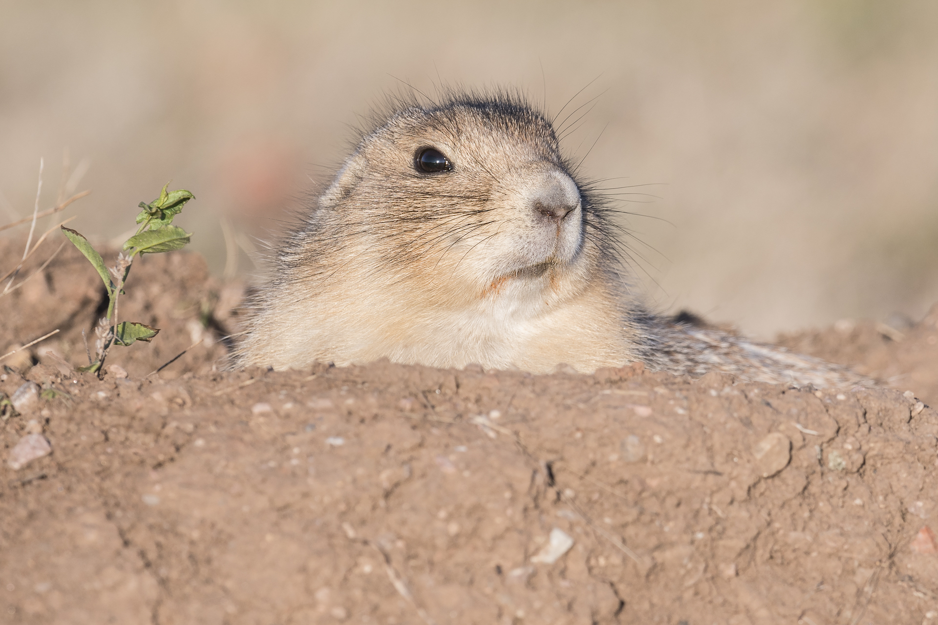 Prairie dog at burrow entrance. Wind Cave NP, SD.