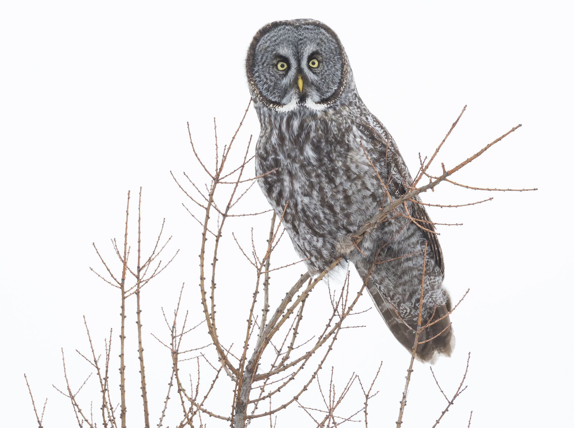 Great Gray Owl perched atop a tamarack tree