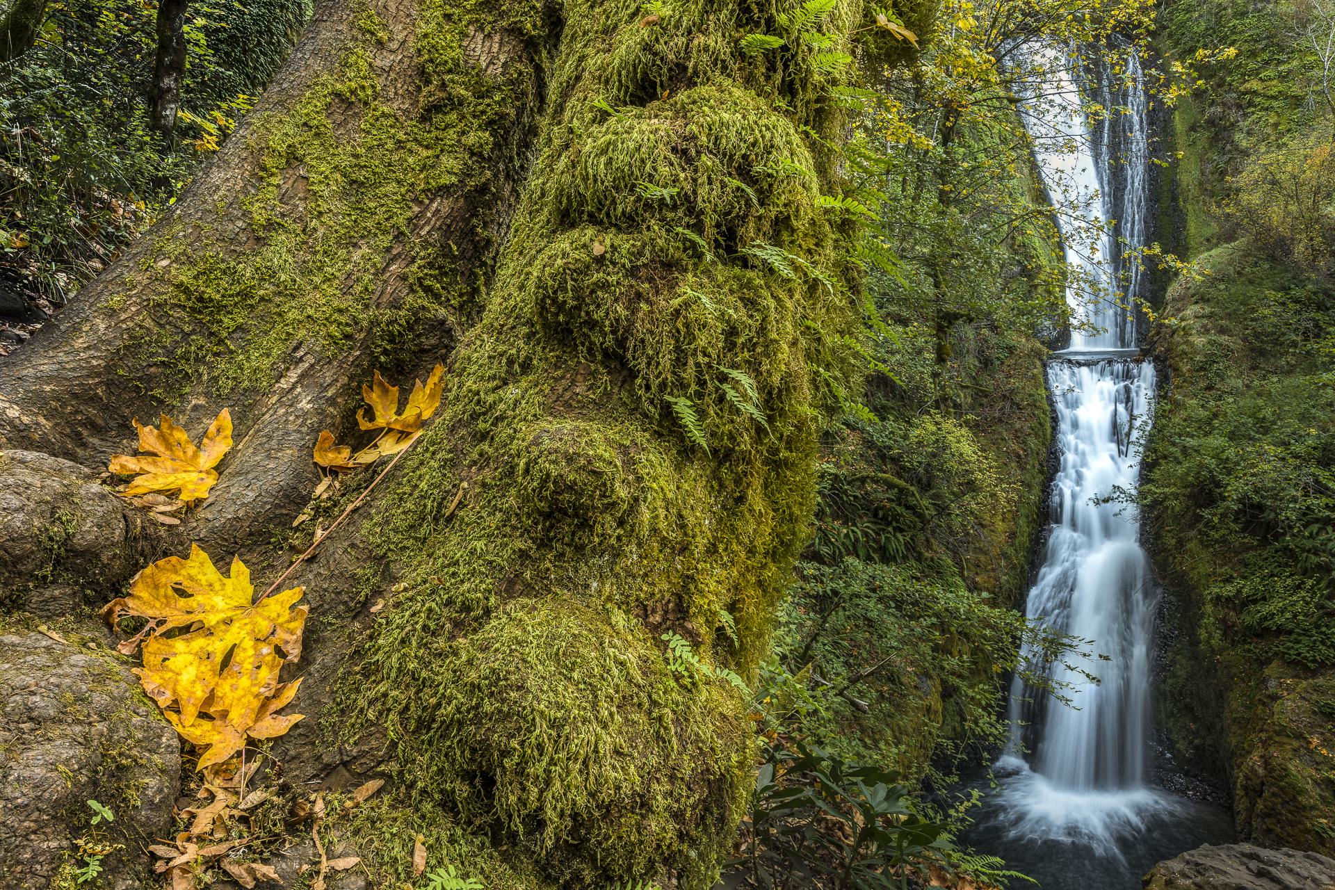 Bigleaf maple and Bridal Veil Falls