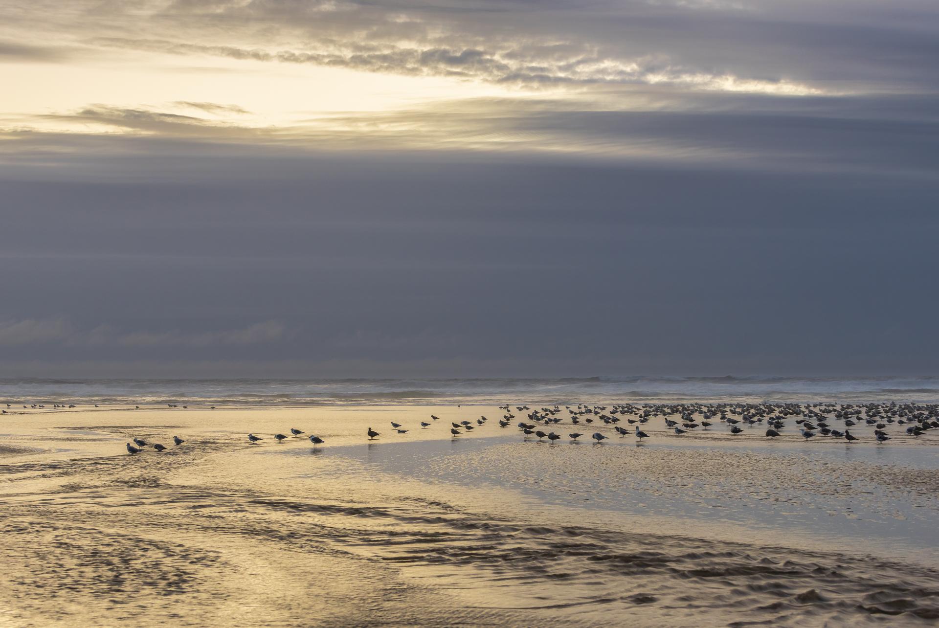 Seagulls, Ecola State Park